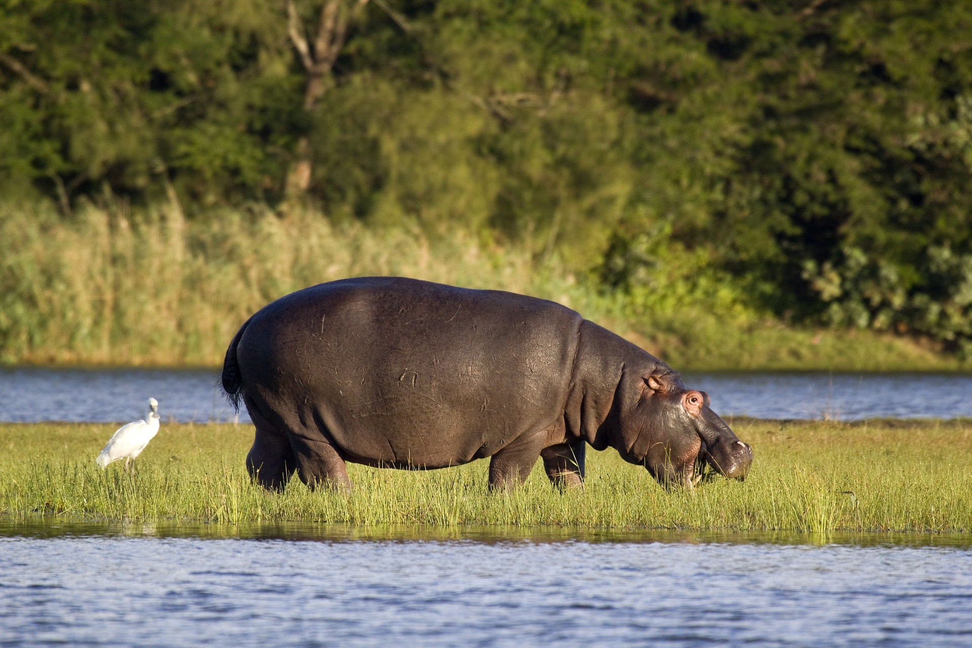 hippo in iSimangaliso wetlands - south africa holidays