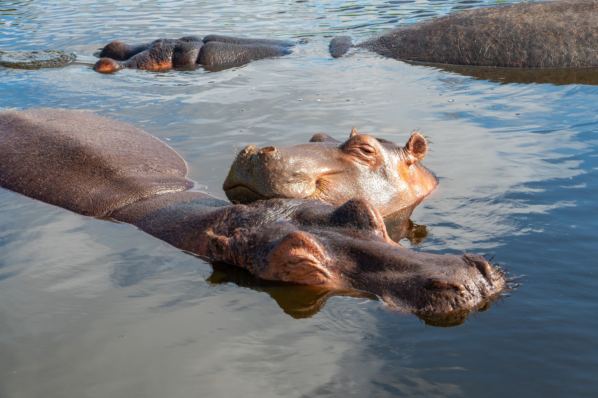 Best things to do in Zambia: Kasanka National Park, Hippos