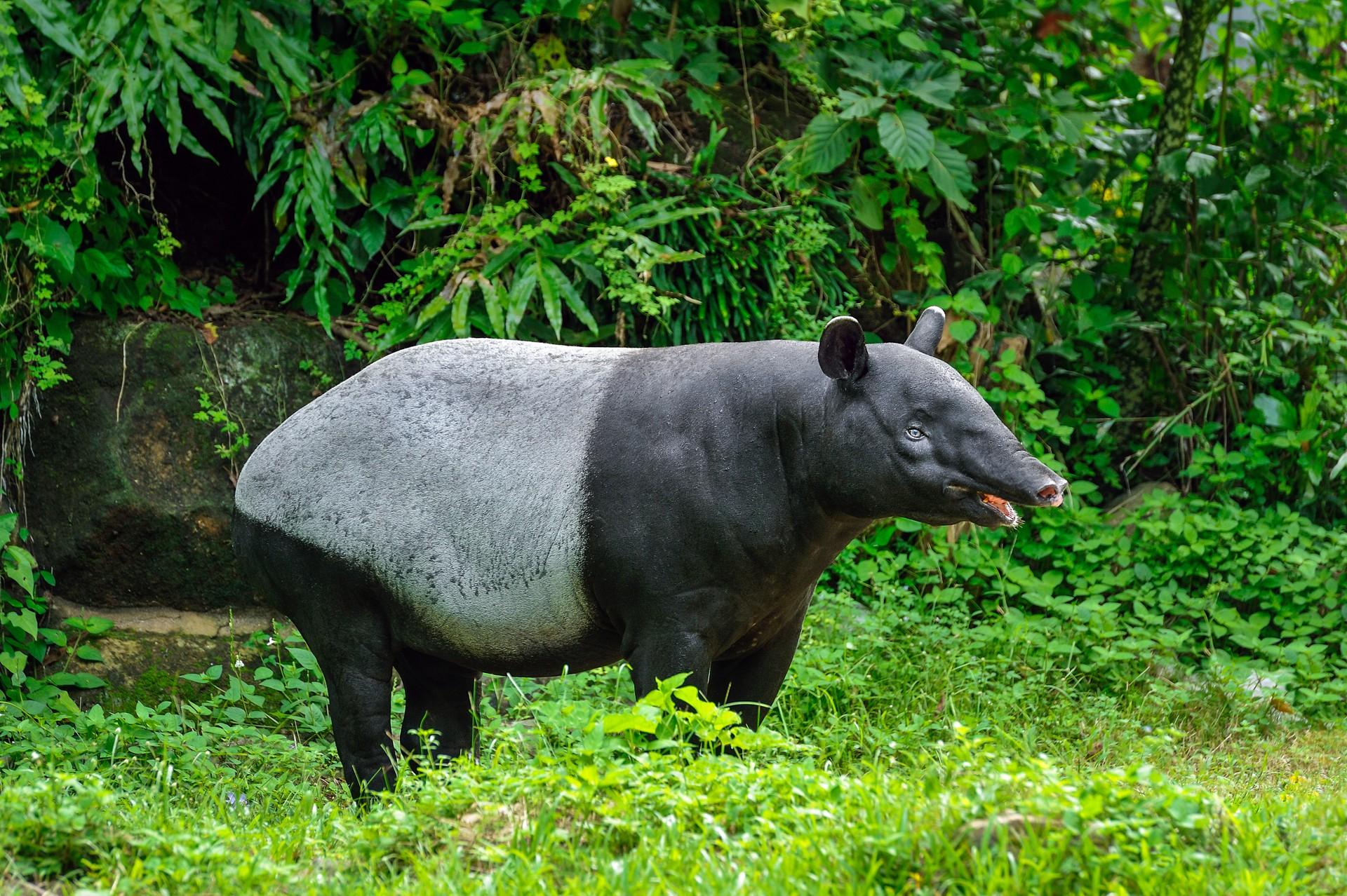 Adult Malay tapir