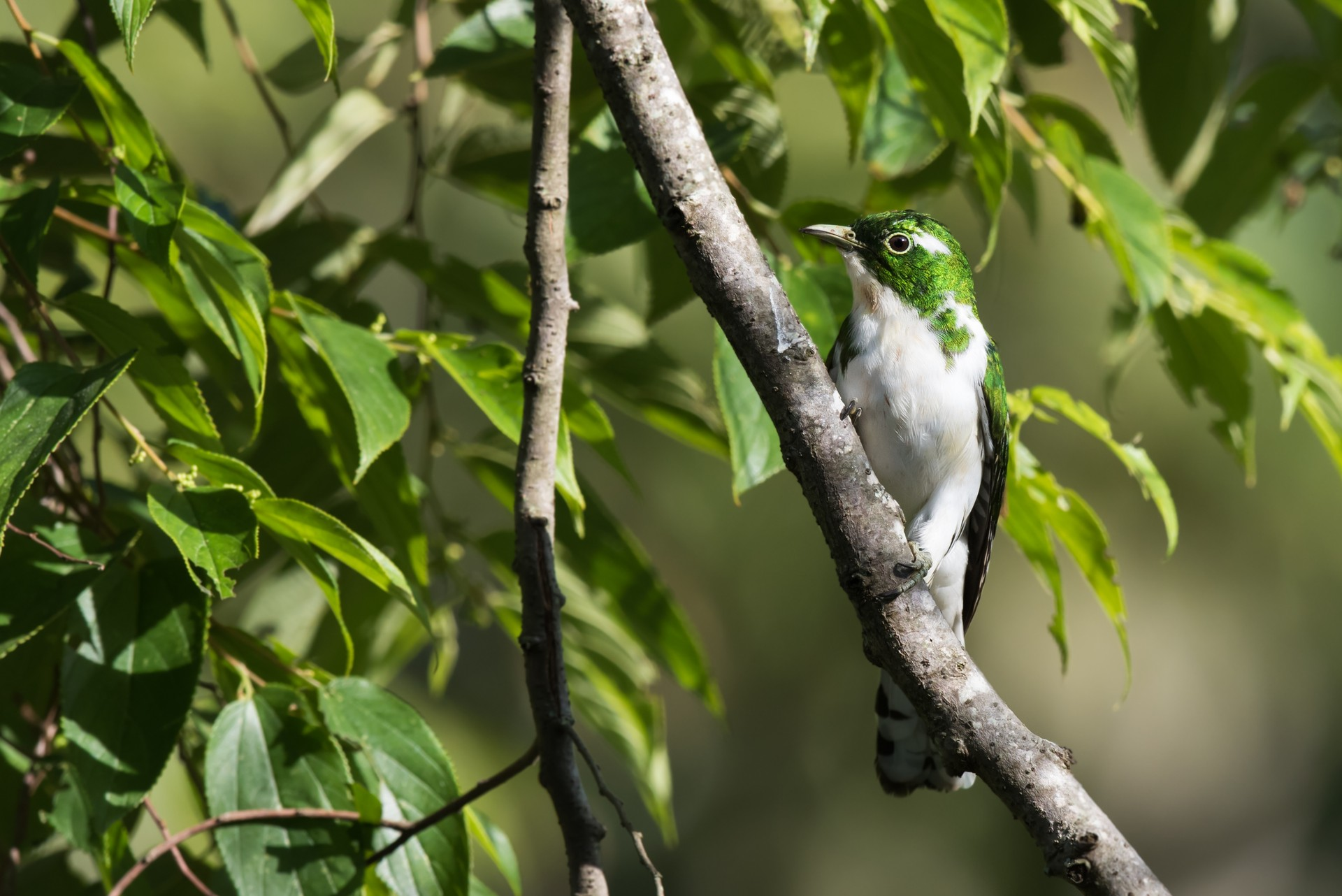 Klass's Cuckoo found in Oserengoni wildlife sanctuary
