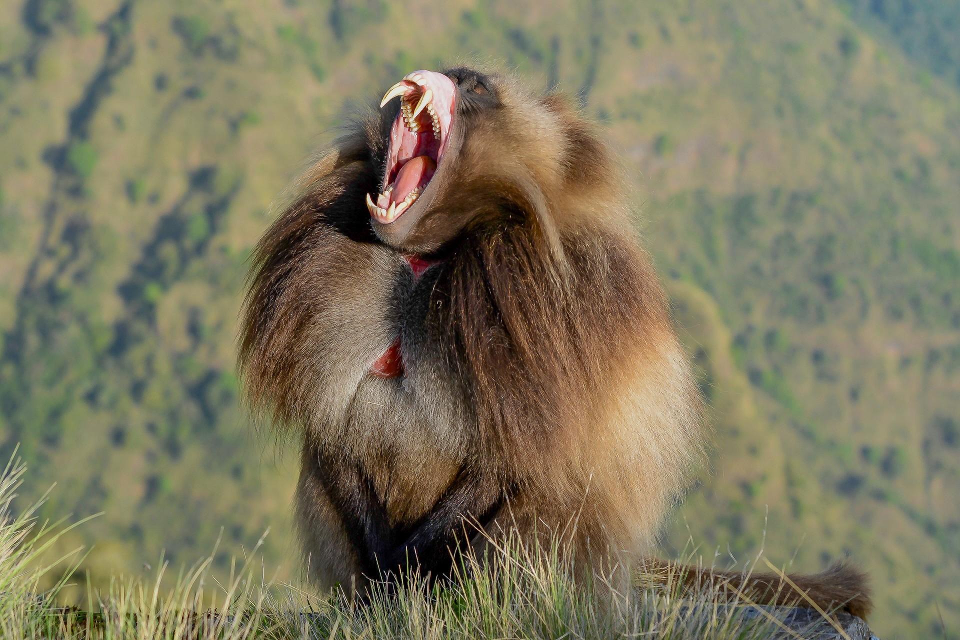 Gelada baboon exposing fangs