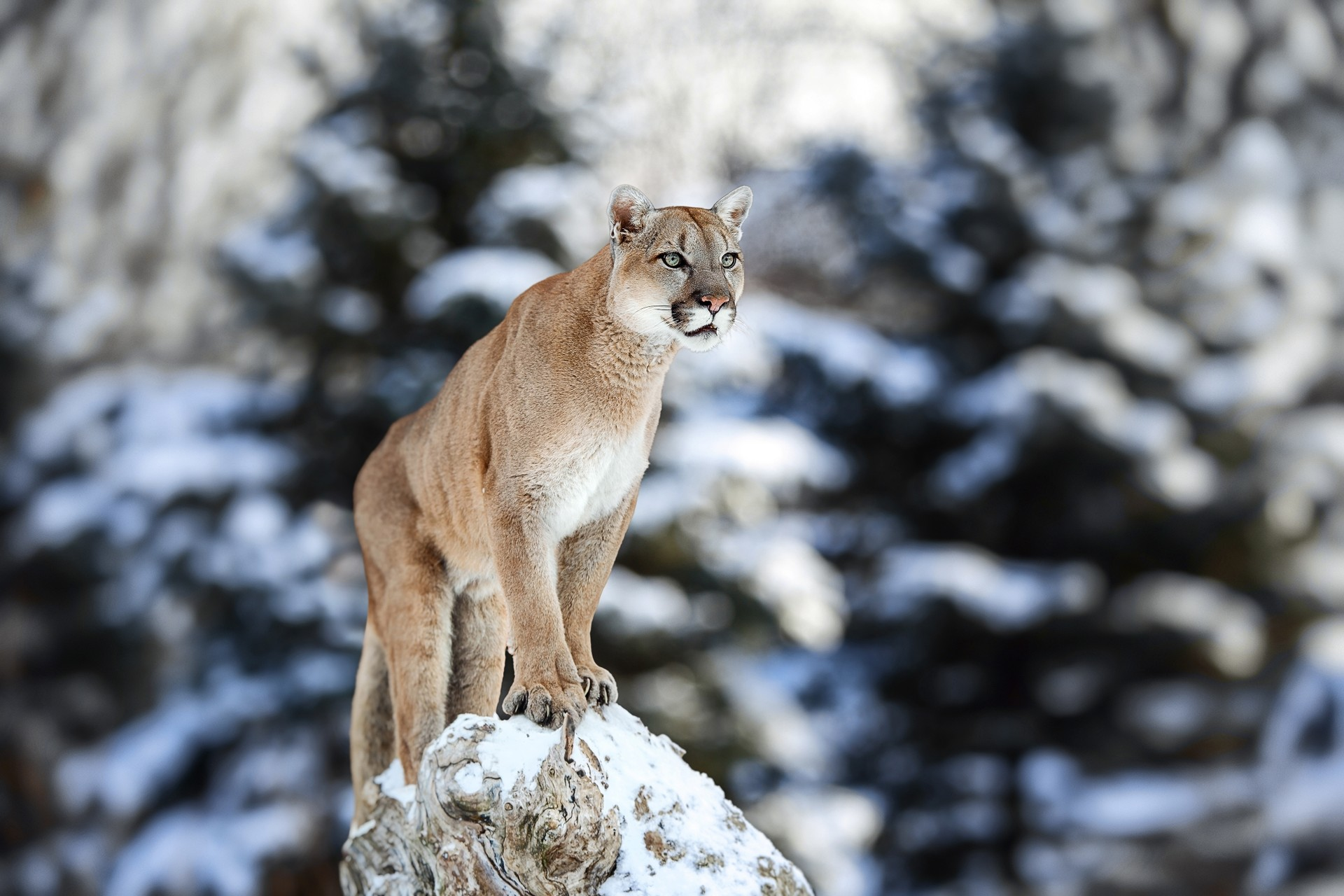 Puma in Chilean Argentina