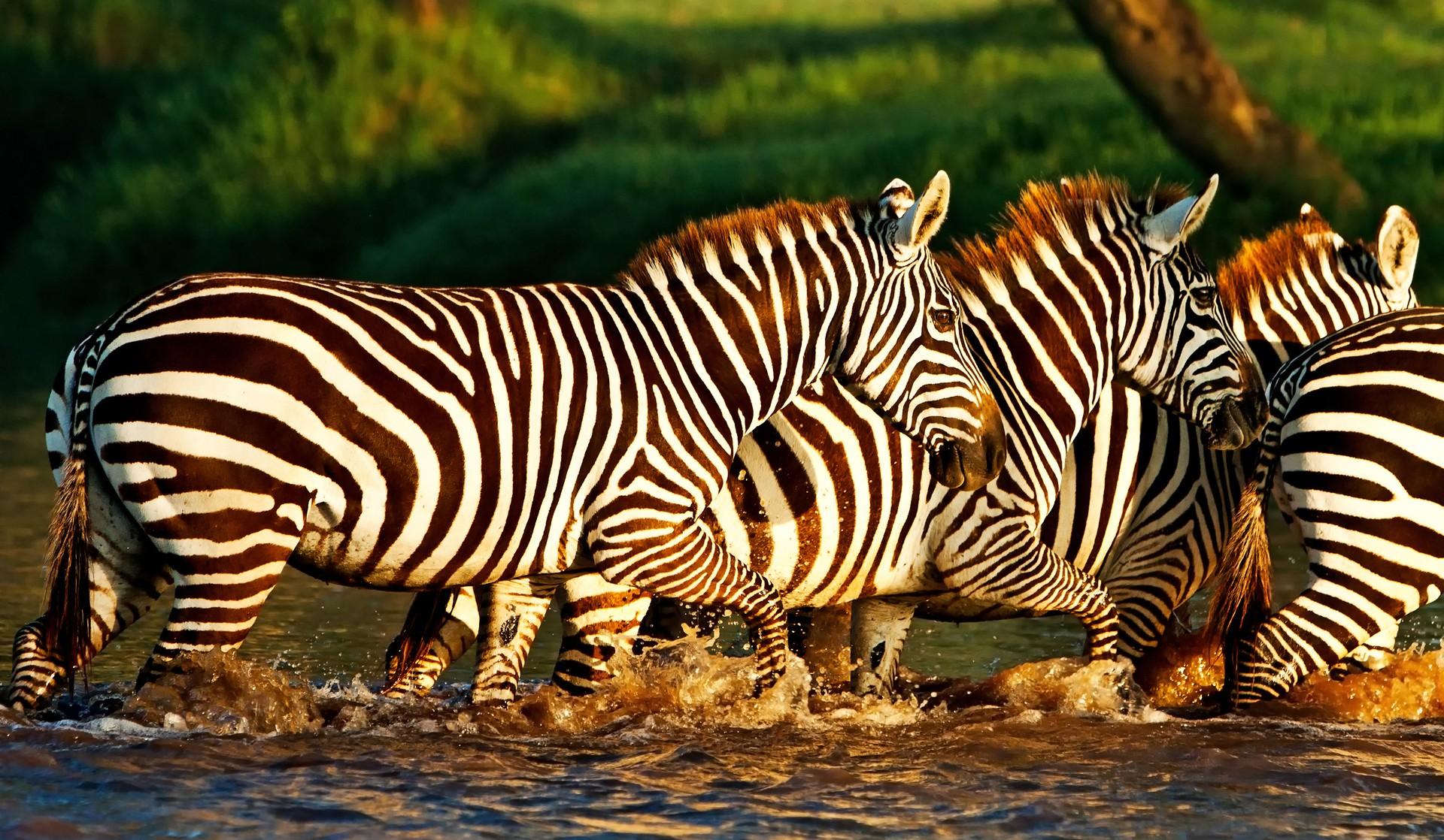 Zebras in Lake Nakuru