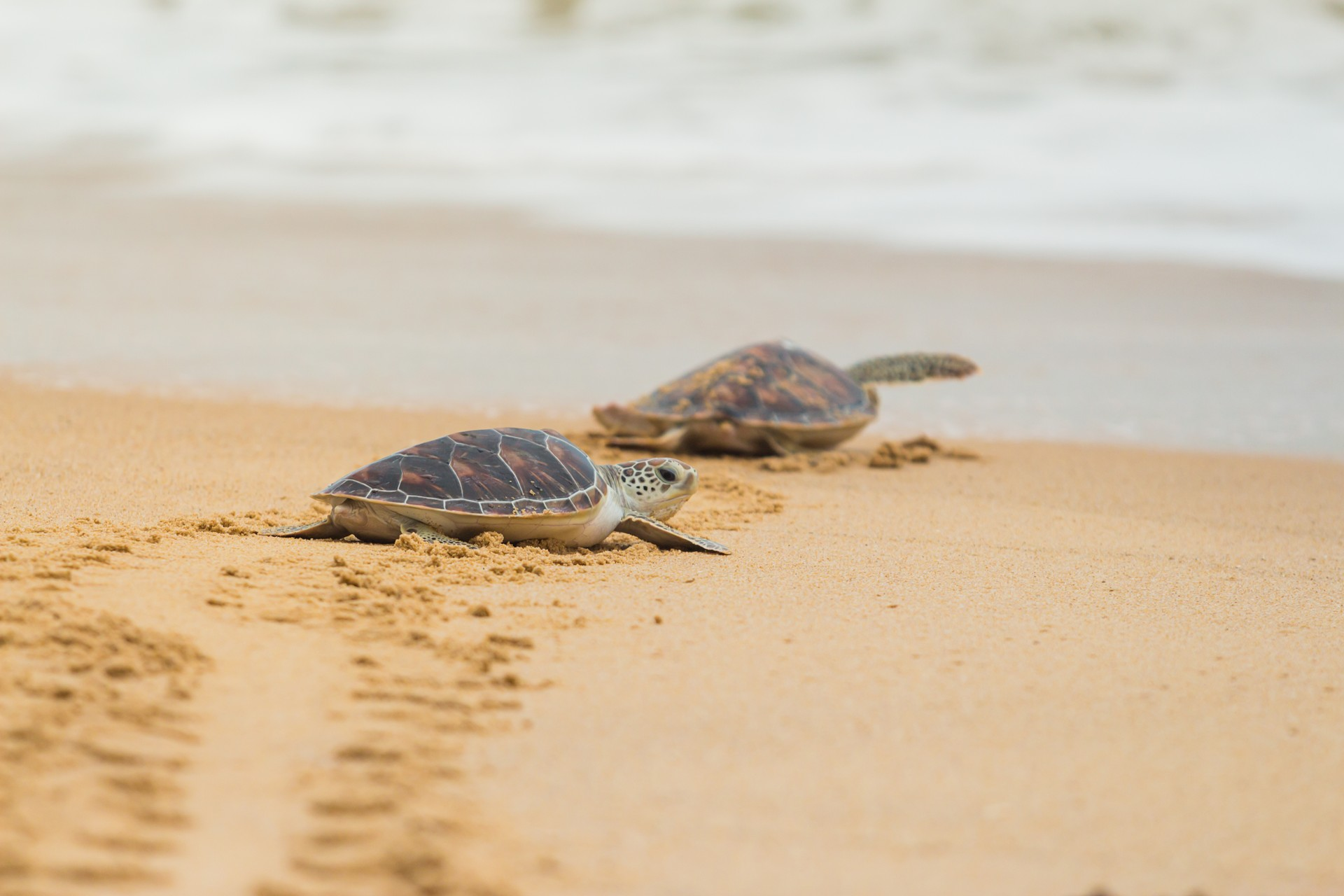 Baby turtles on the shores of Isla Cañas, Panama