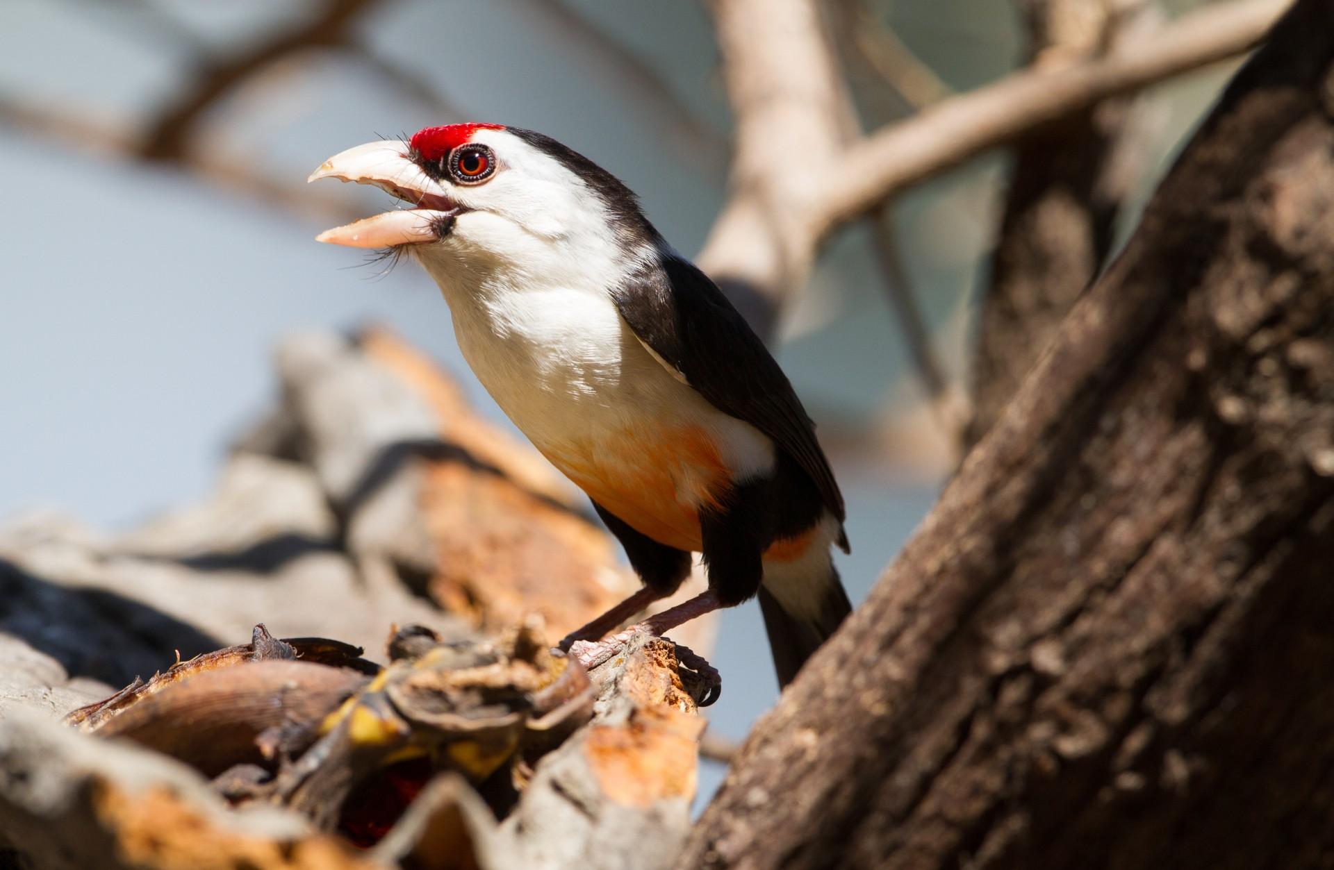 Wildlife of Zambia: Chaplin's Barbet