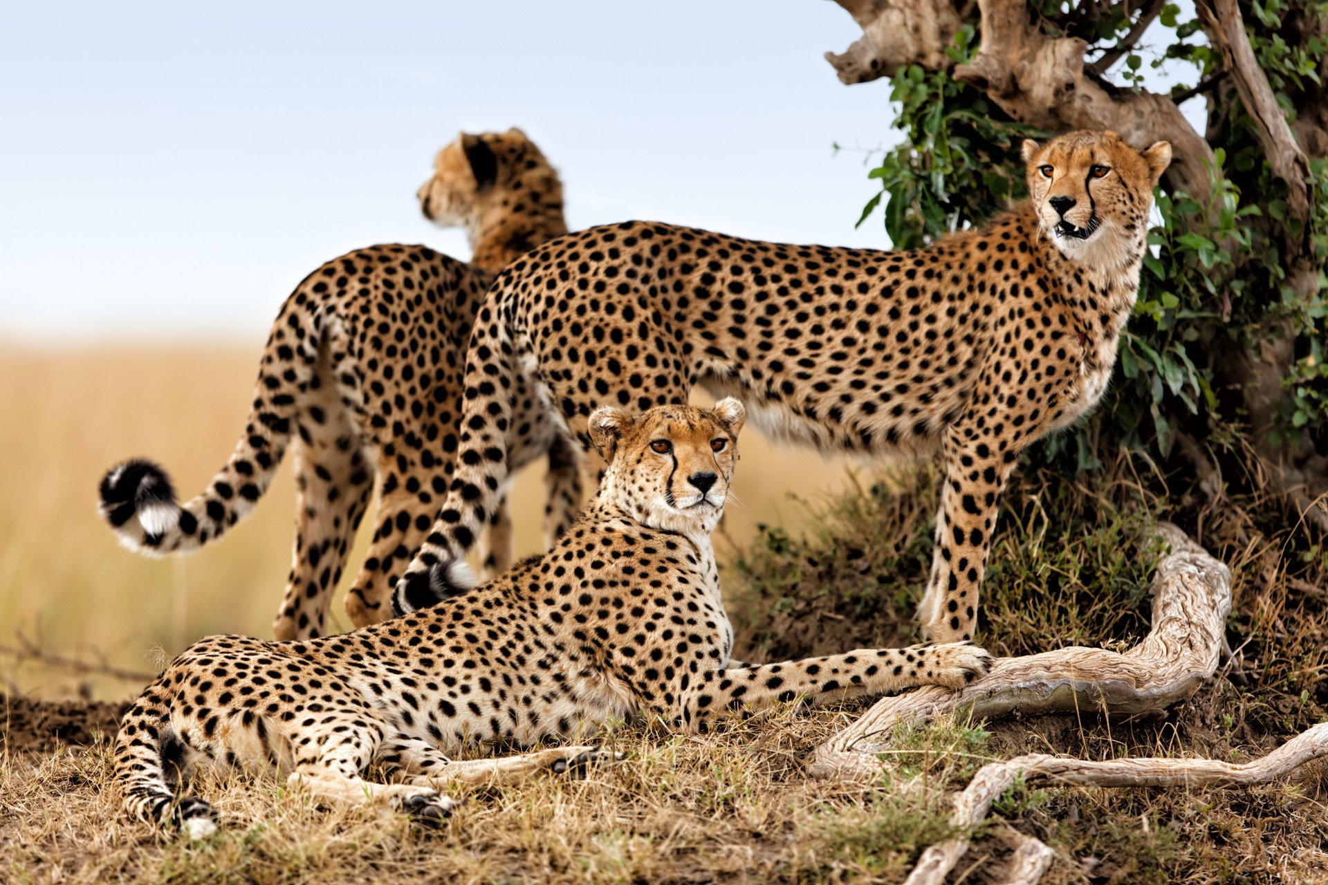 Cheetah family in Kenya's Masai Mara
