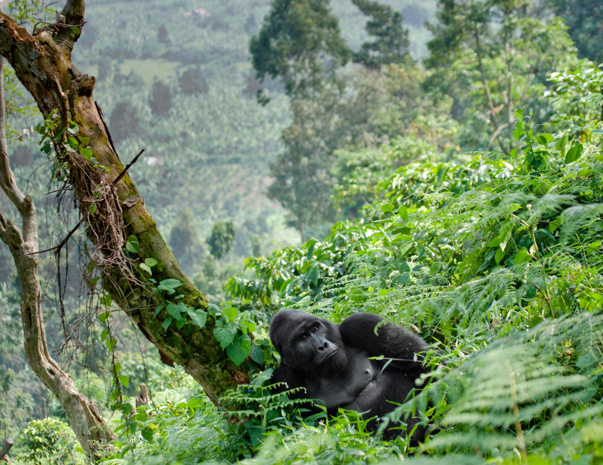 Silverback gorilla in Virunga Mountains, Rwanda