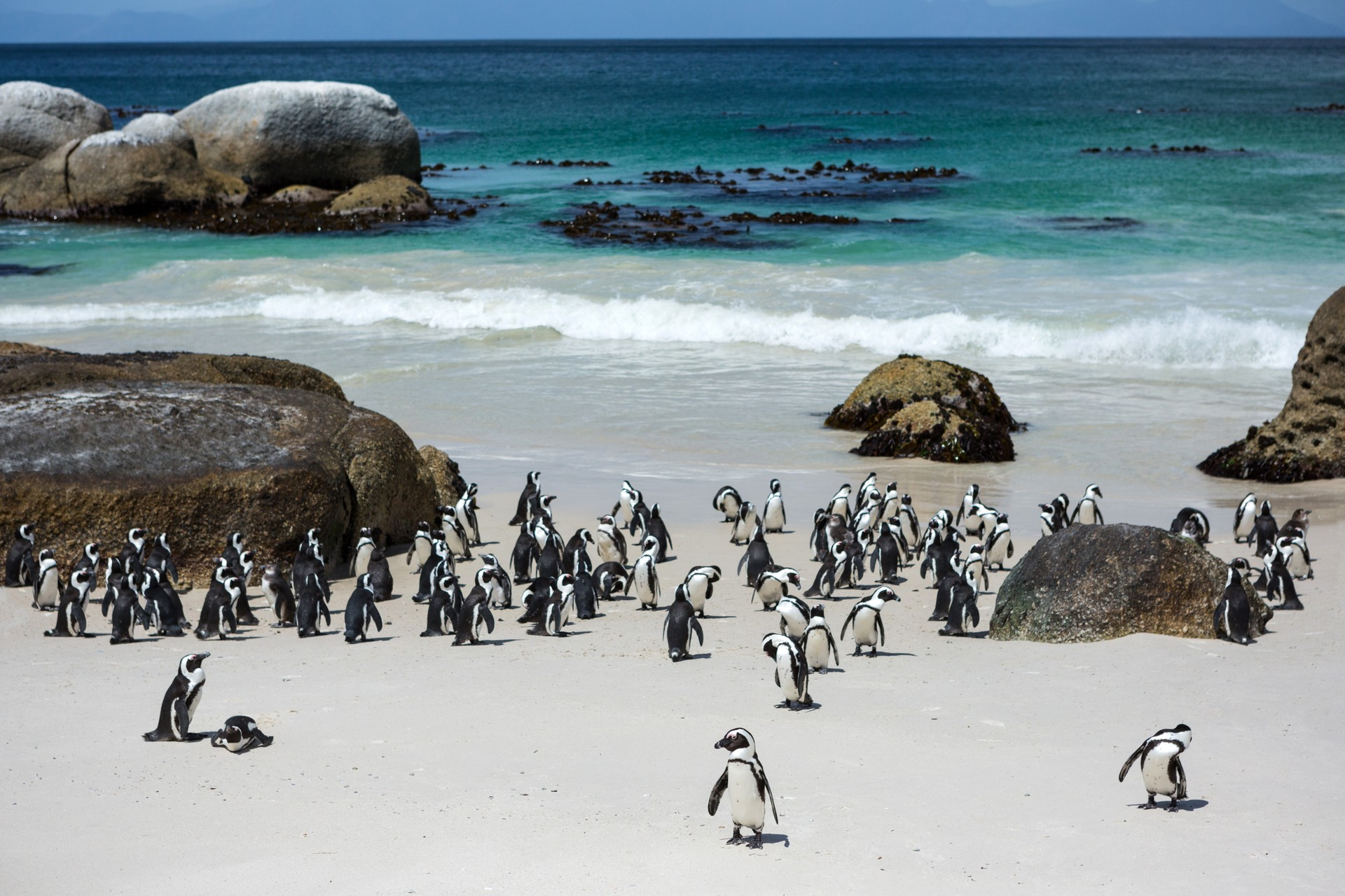Penguins congregating on Boulders Beach