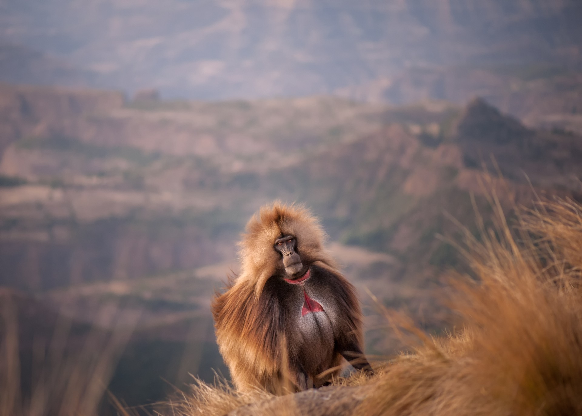 Gelada baboon in Ethiopia