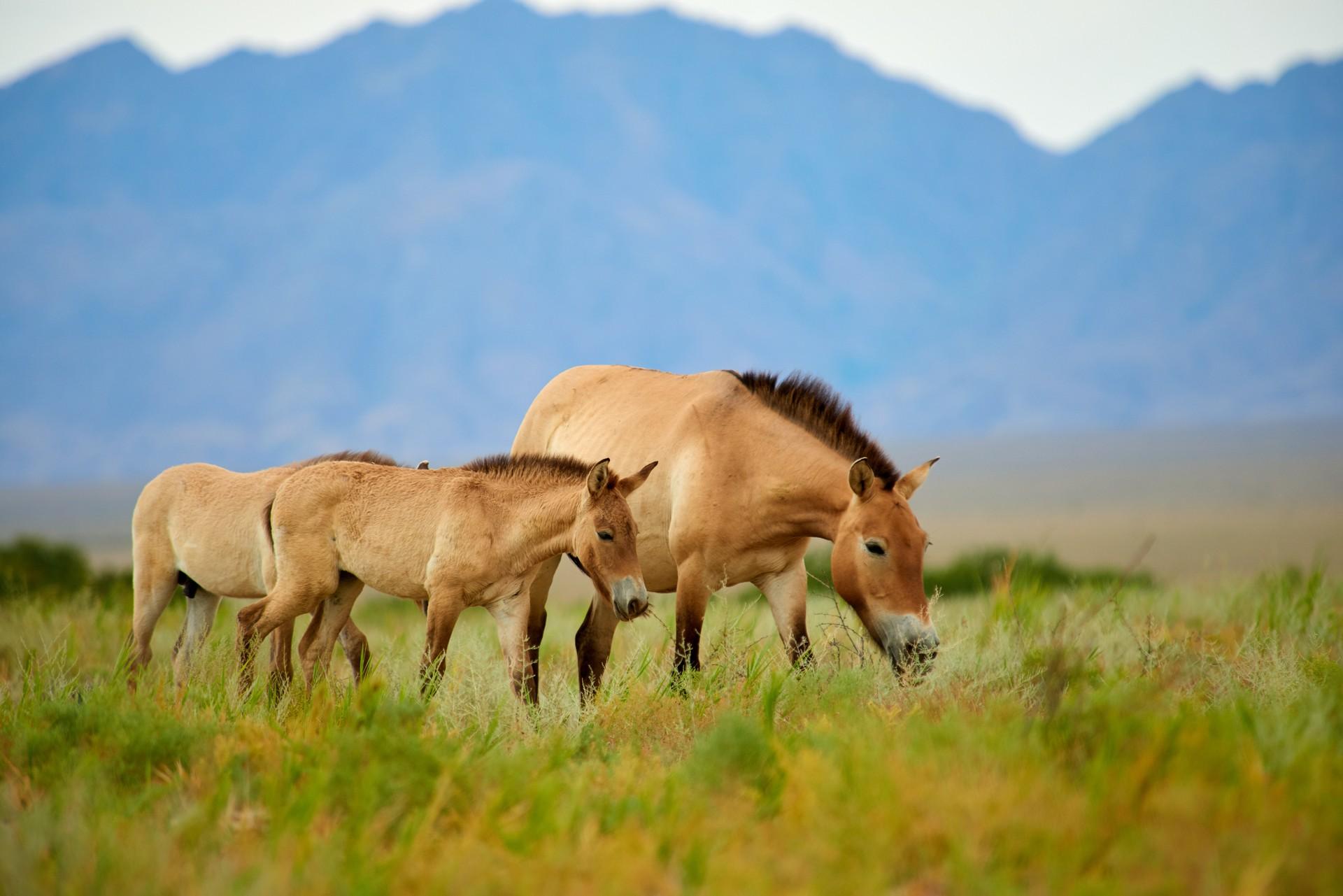 Przewalski's horses grazing in Kazakhstan