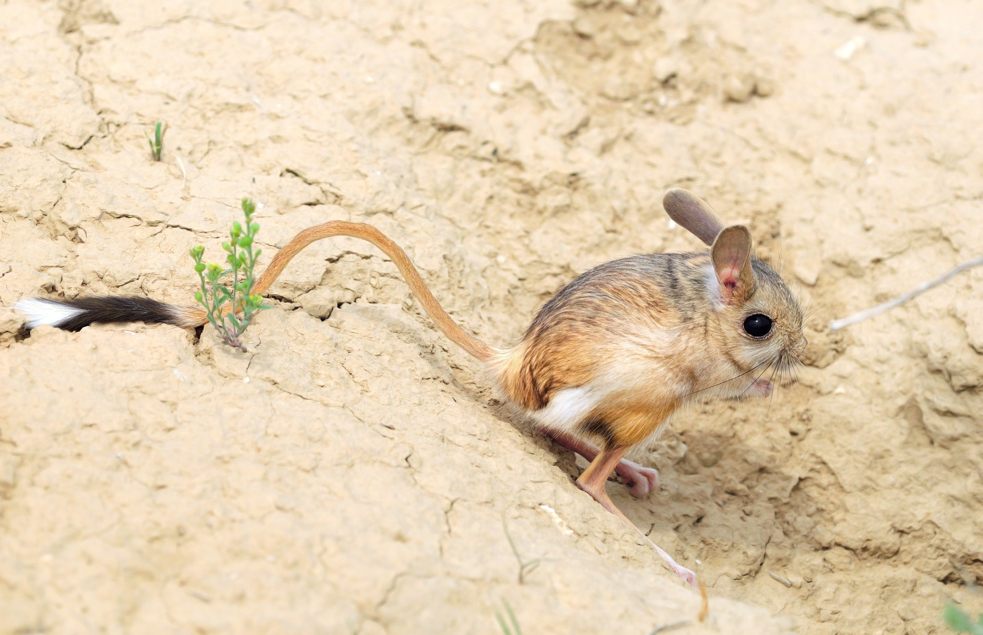 Jerboa in Central Asia