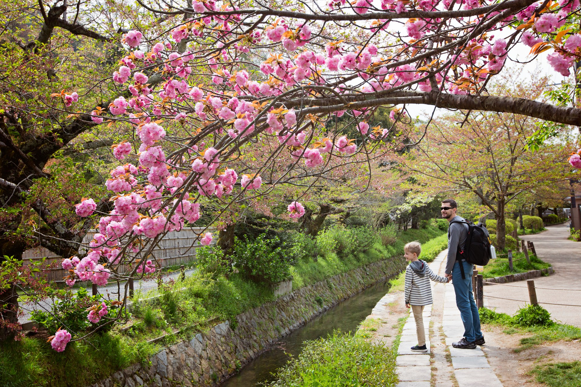 A father and son walk under the cherry blossom in Kyoto