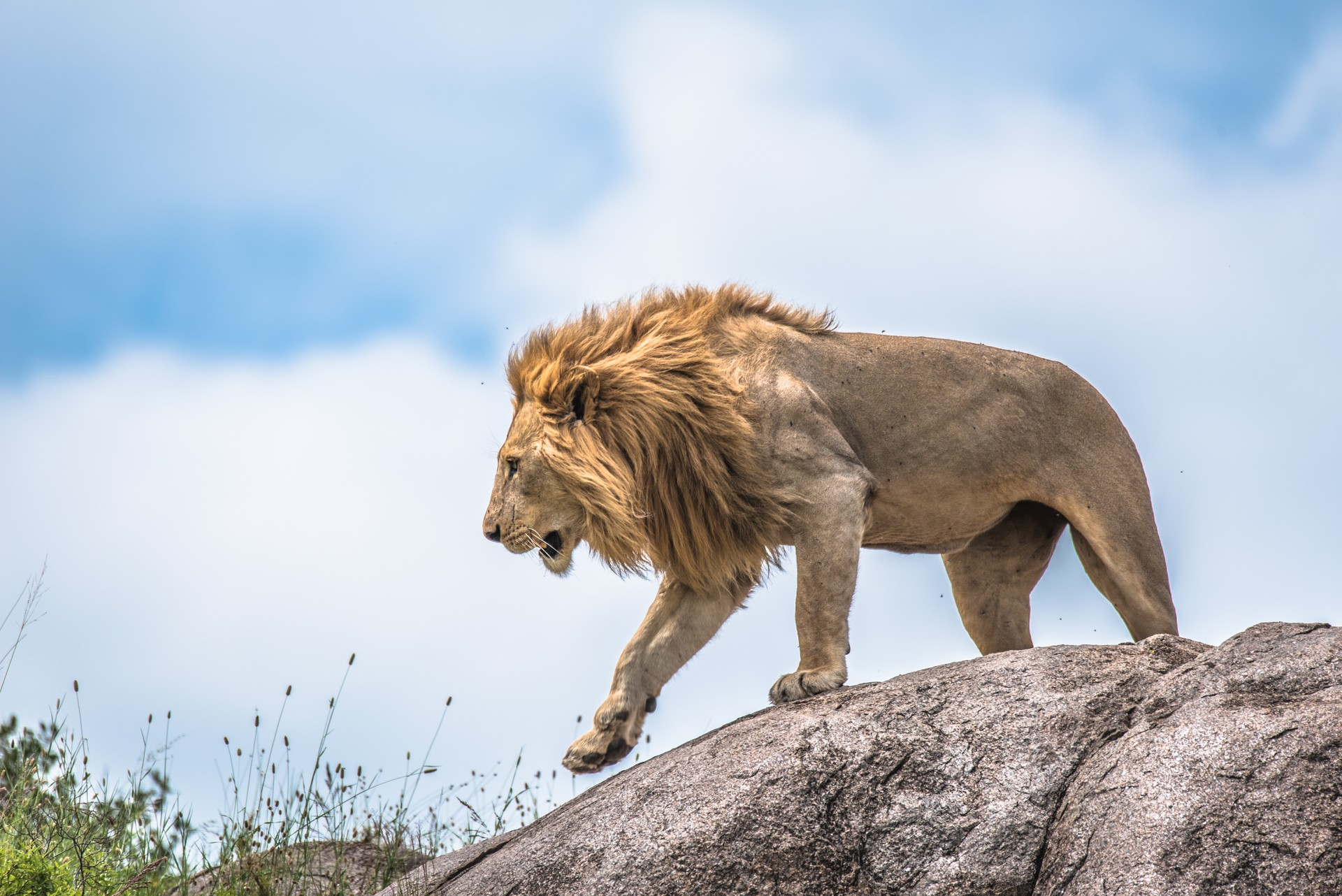 Male lion in Serengeti, Tanzania