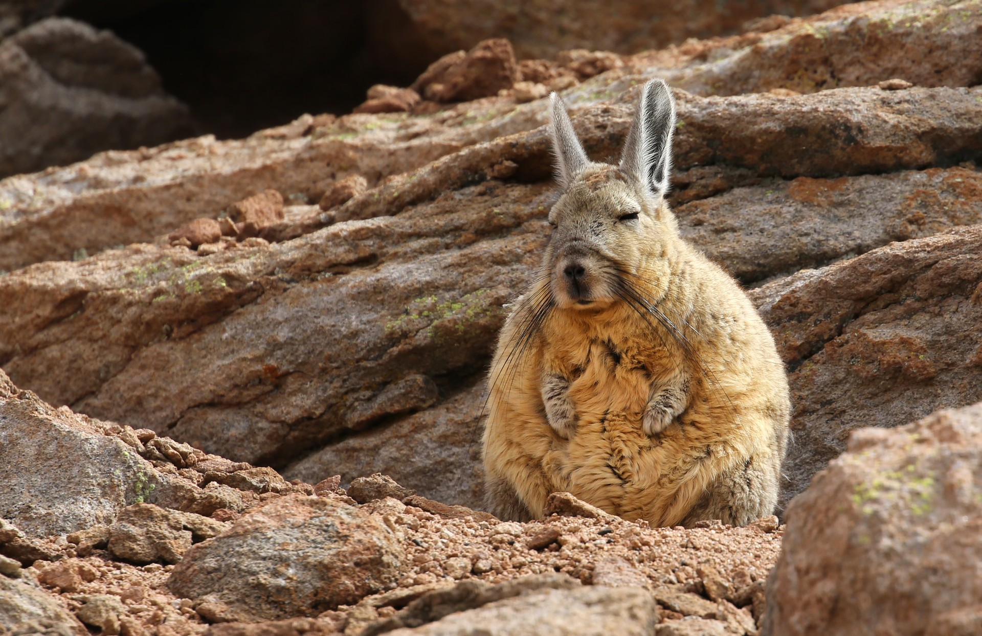 Mountain viscacha in Chile