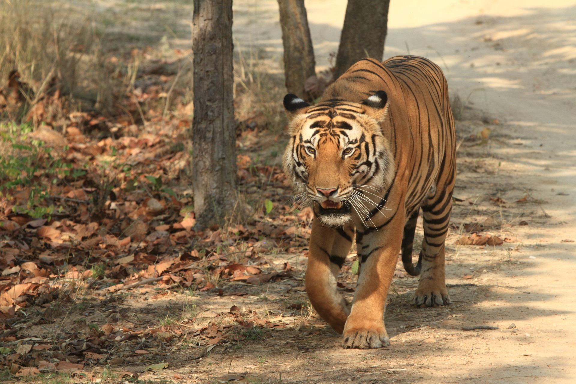 Tiger in Kanha Tiger Reserve India