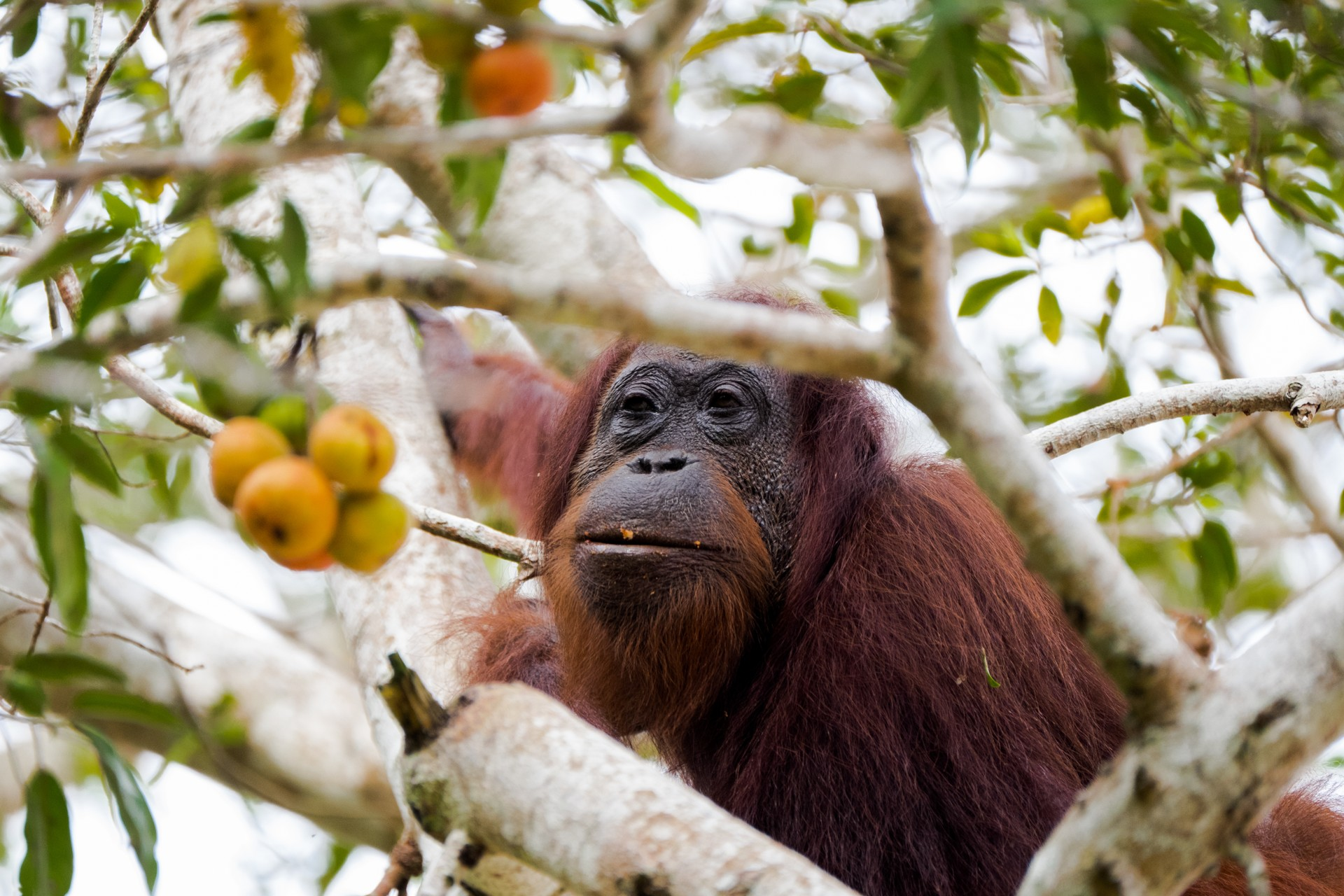 Borneo holidays: Orangutan in fig tree