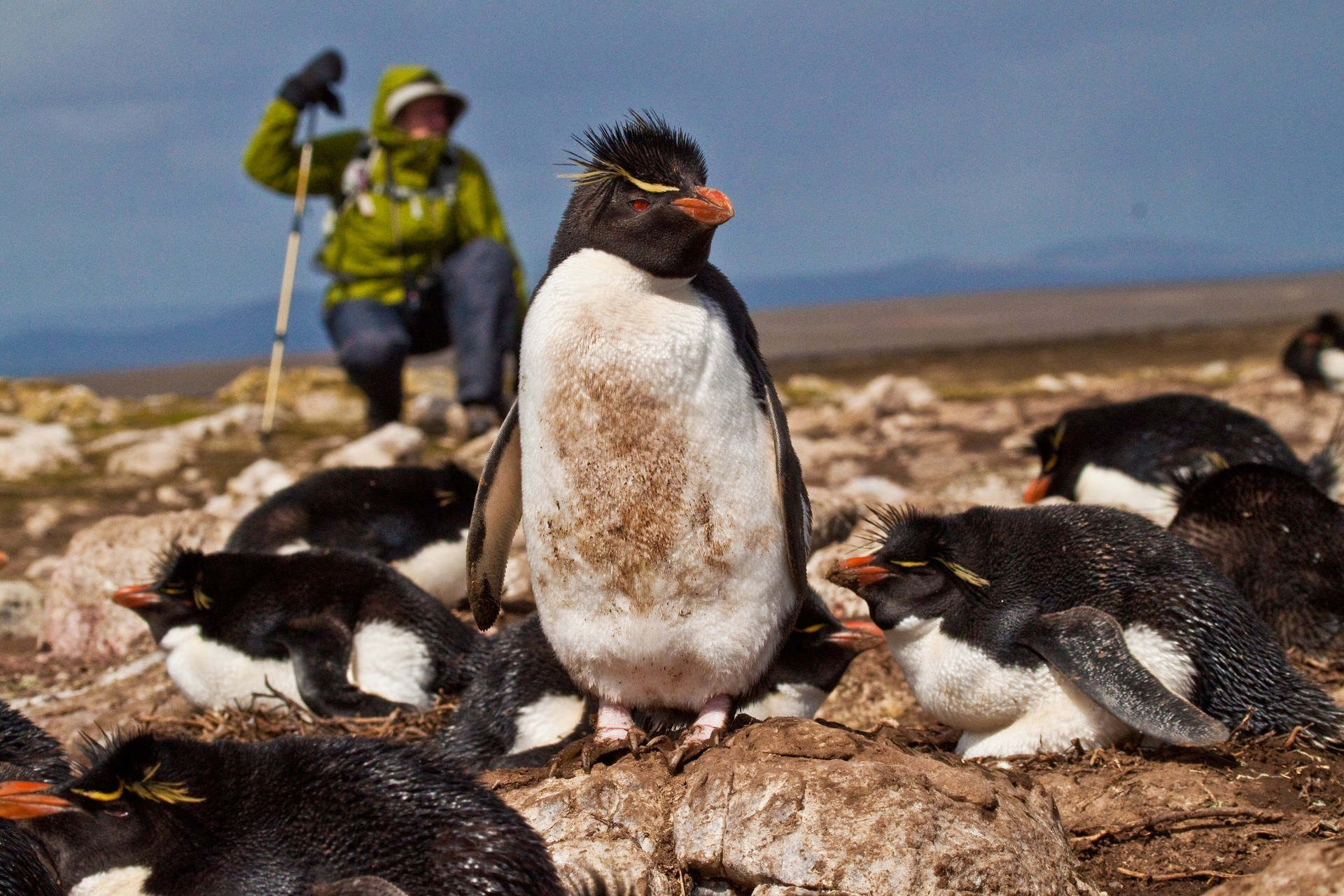 Person observing penguin on the falkland islands