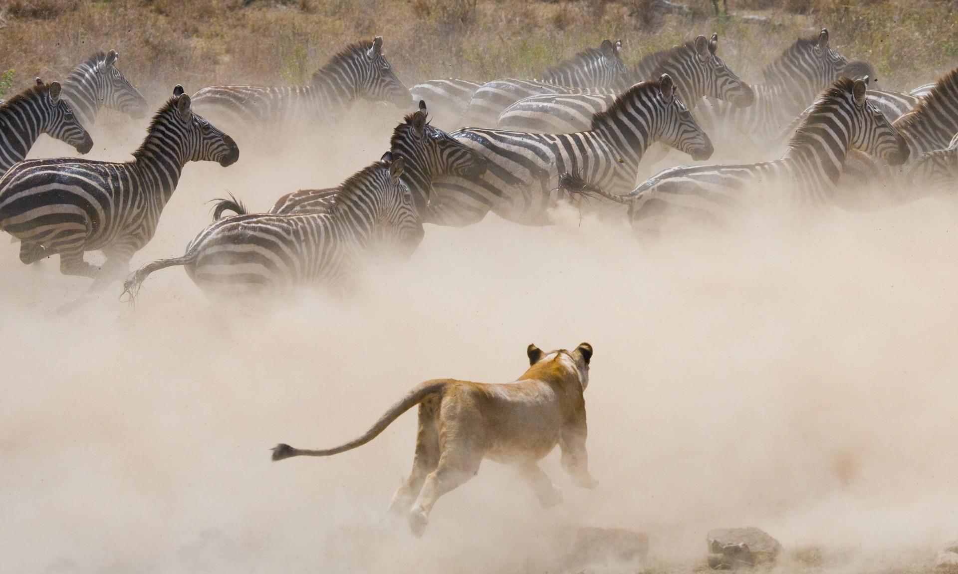 Lioness chasing zebra herd
