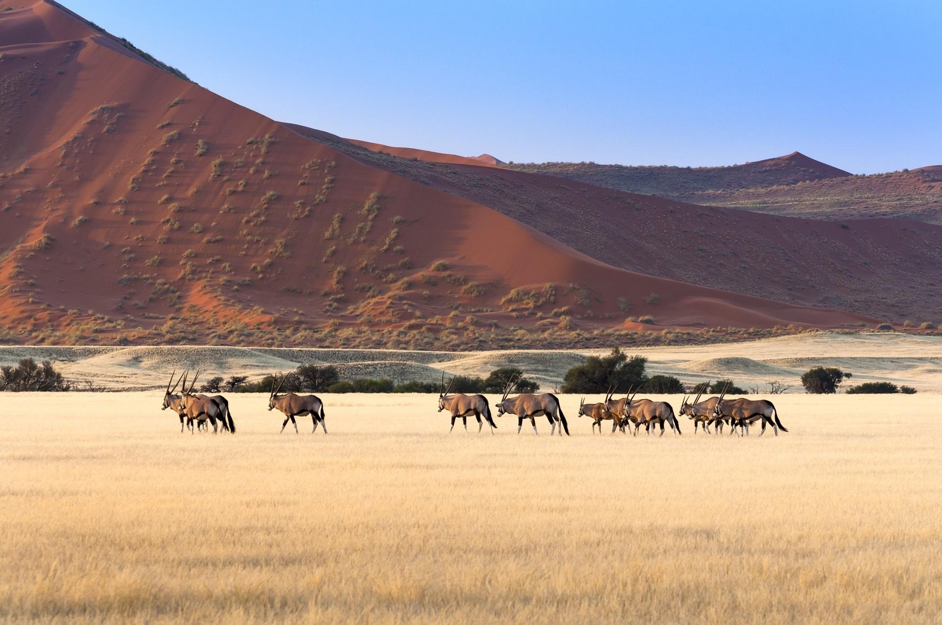 Gemsbok in Sossussvlei landscape
