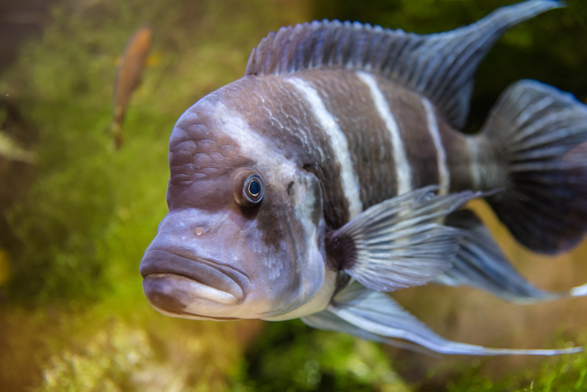 Wildlife of Zambia: Humphead cichlid