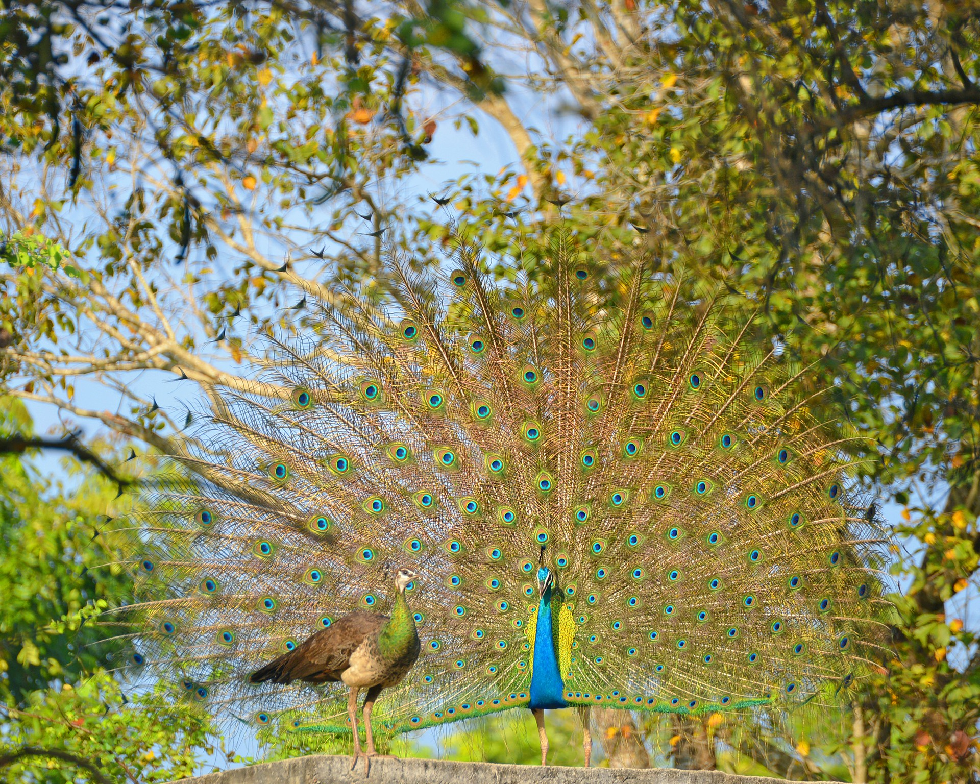 Peacock and peahen in Sri Lanka