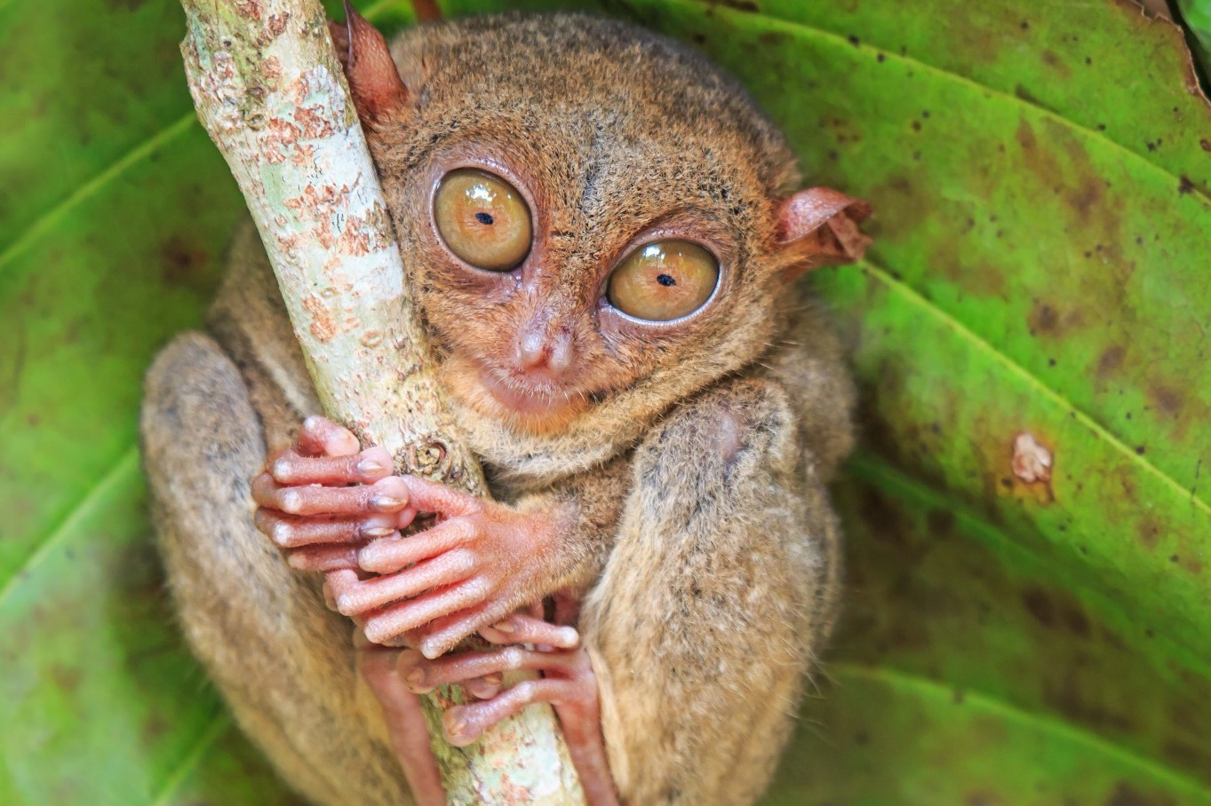Philippines holidays: seeing tarsiers