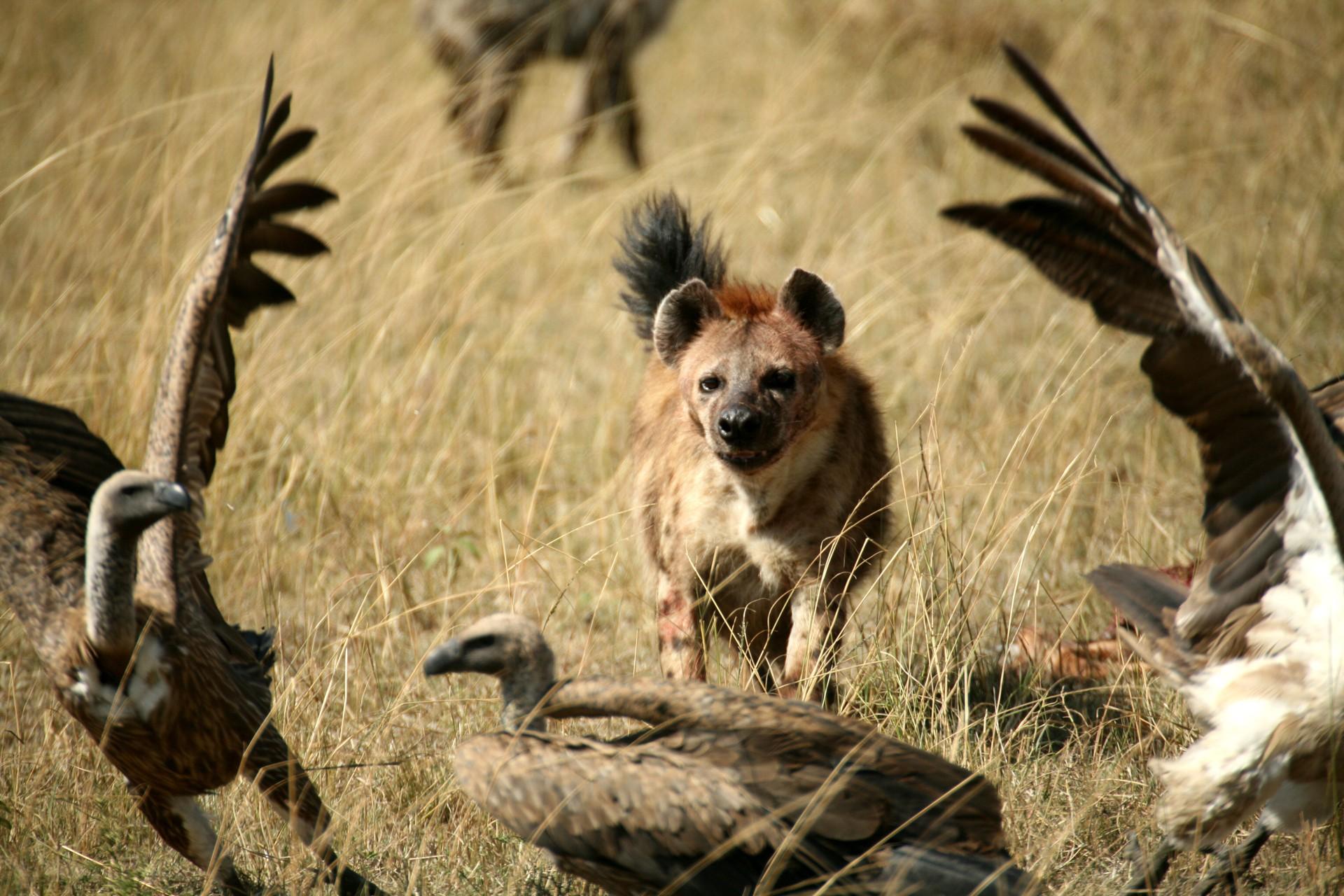 Hyena chasing vultures in Kenya