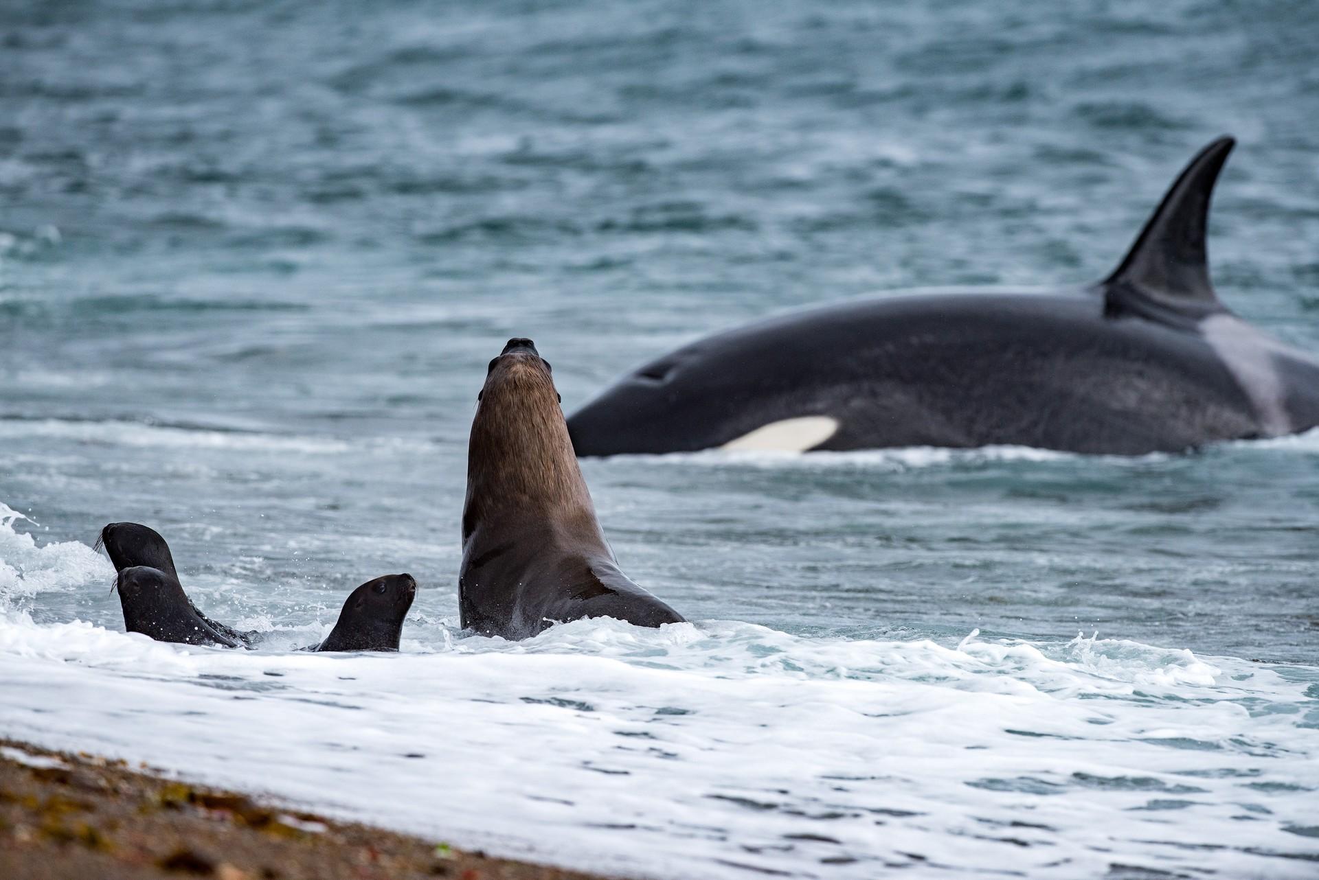 killer whale falklands
