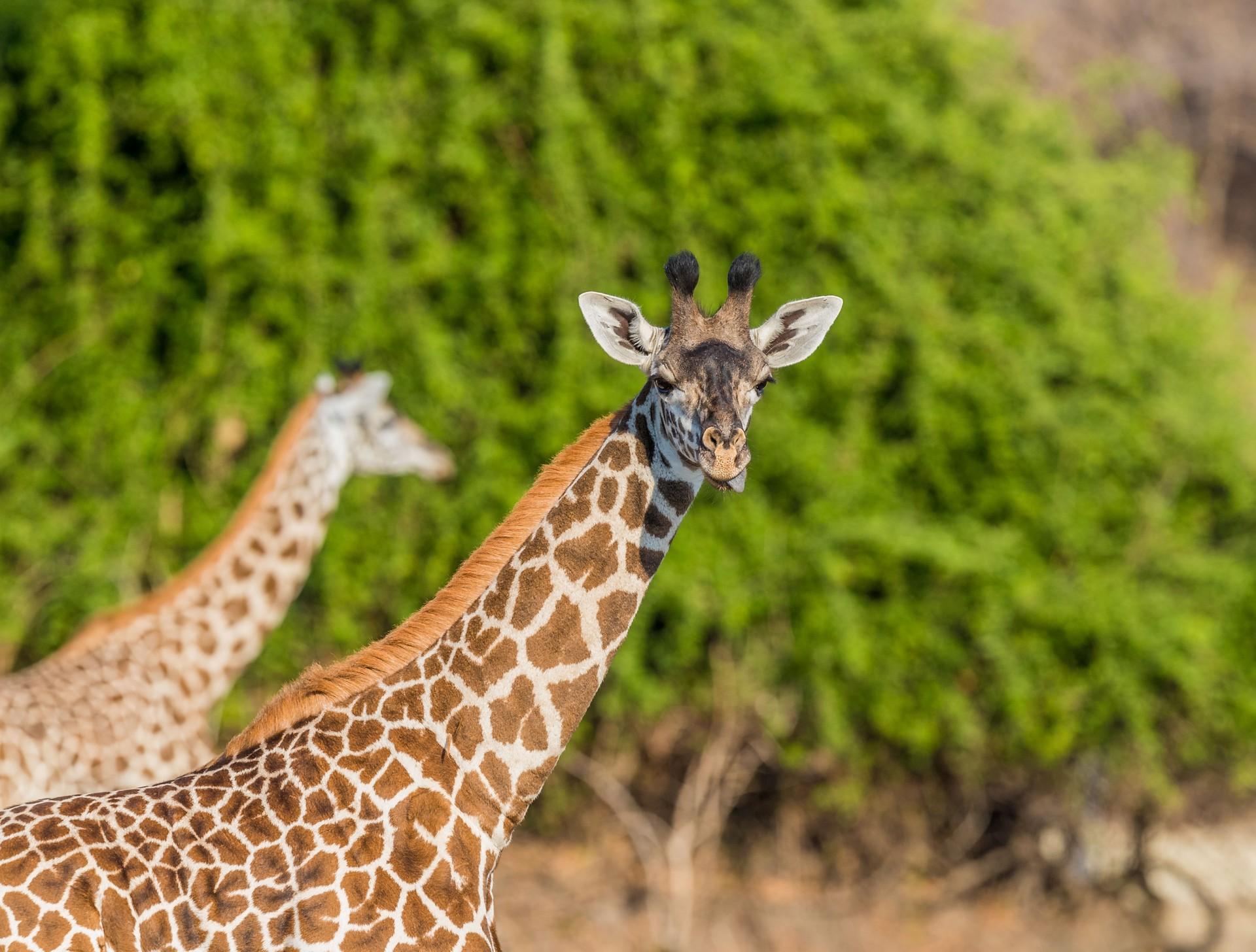 Wildlife of Zambia: Thornicroft's Giraffe