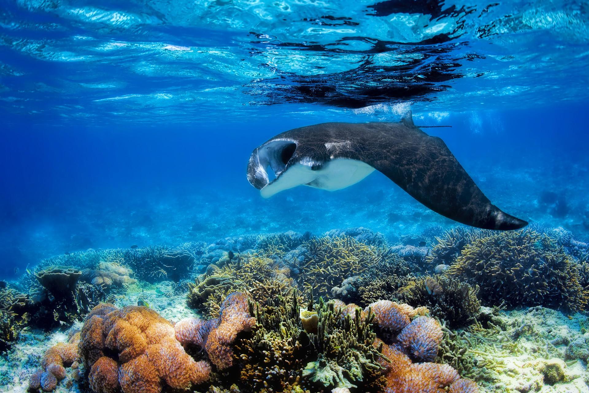 Manta ray feeding in indonesia