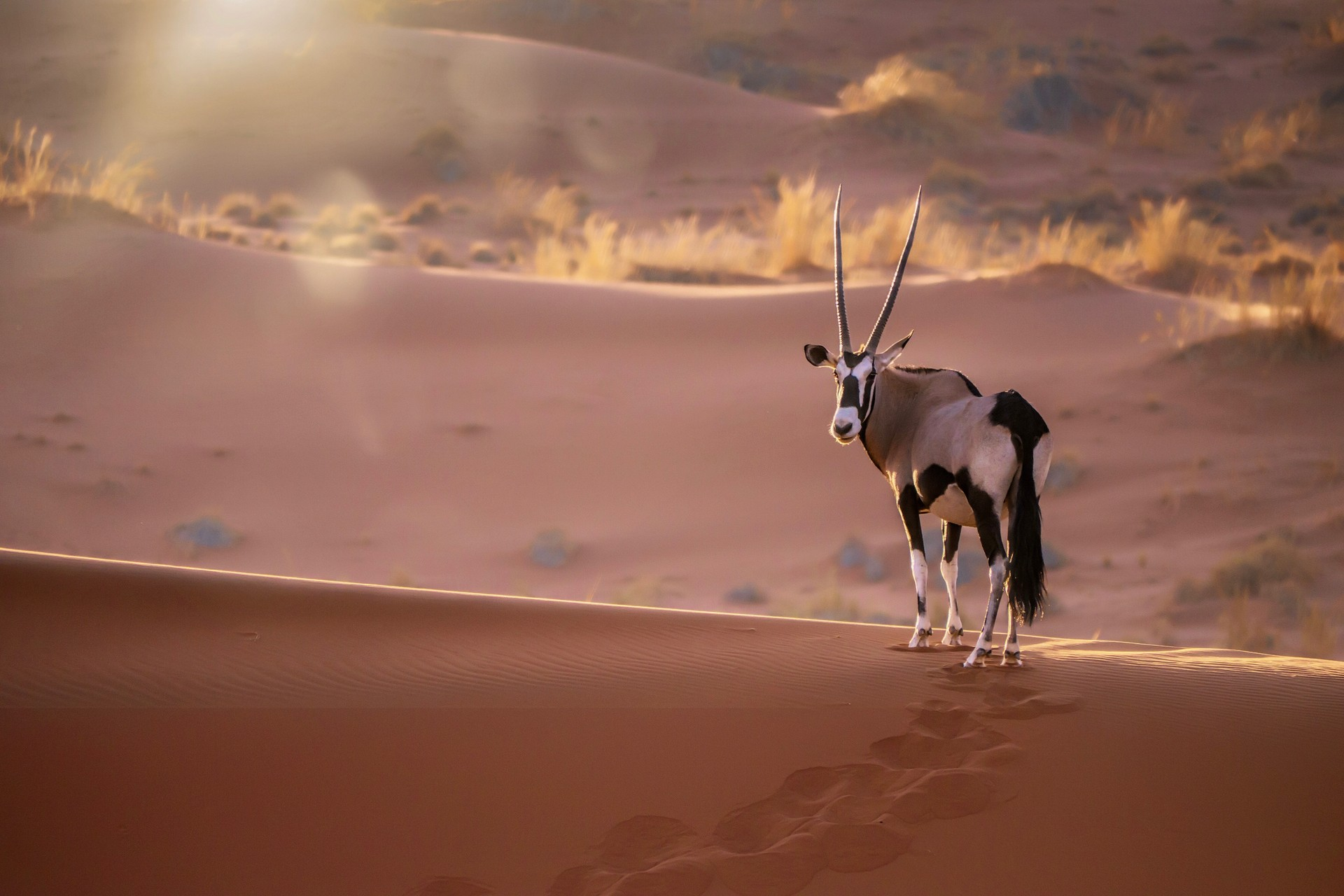 A gemsbok walks through the Namib Desert