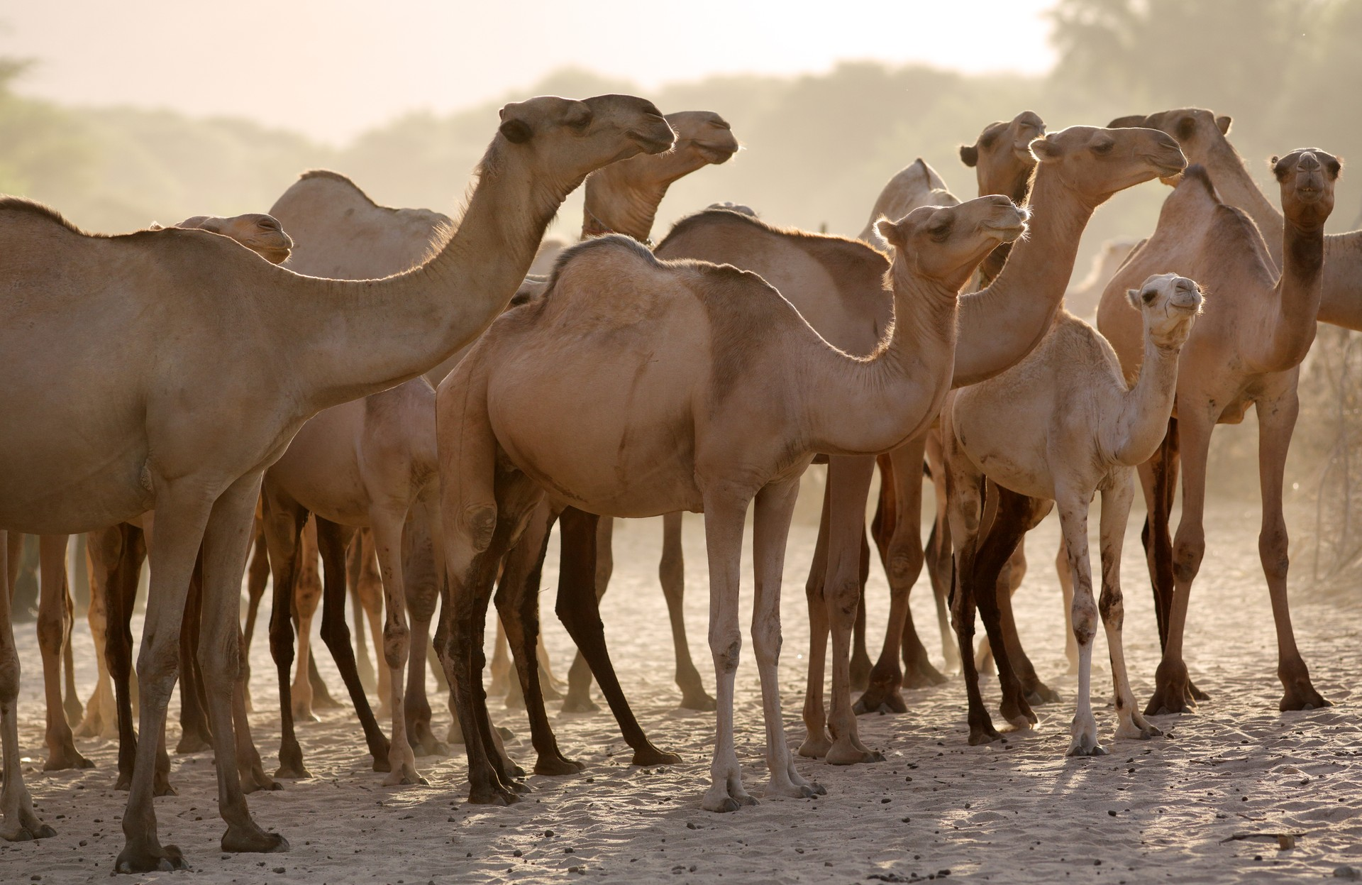 Camels in Maralal, Samburu, Kenya