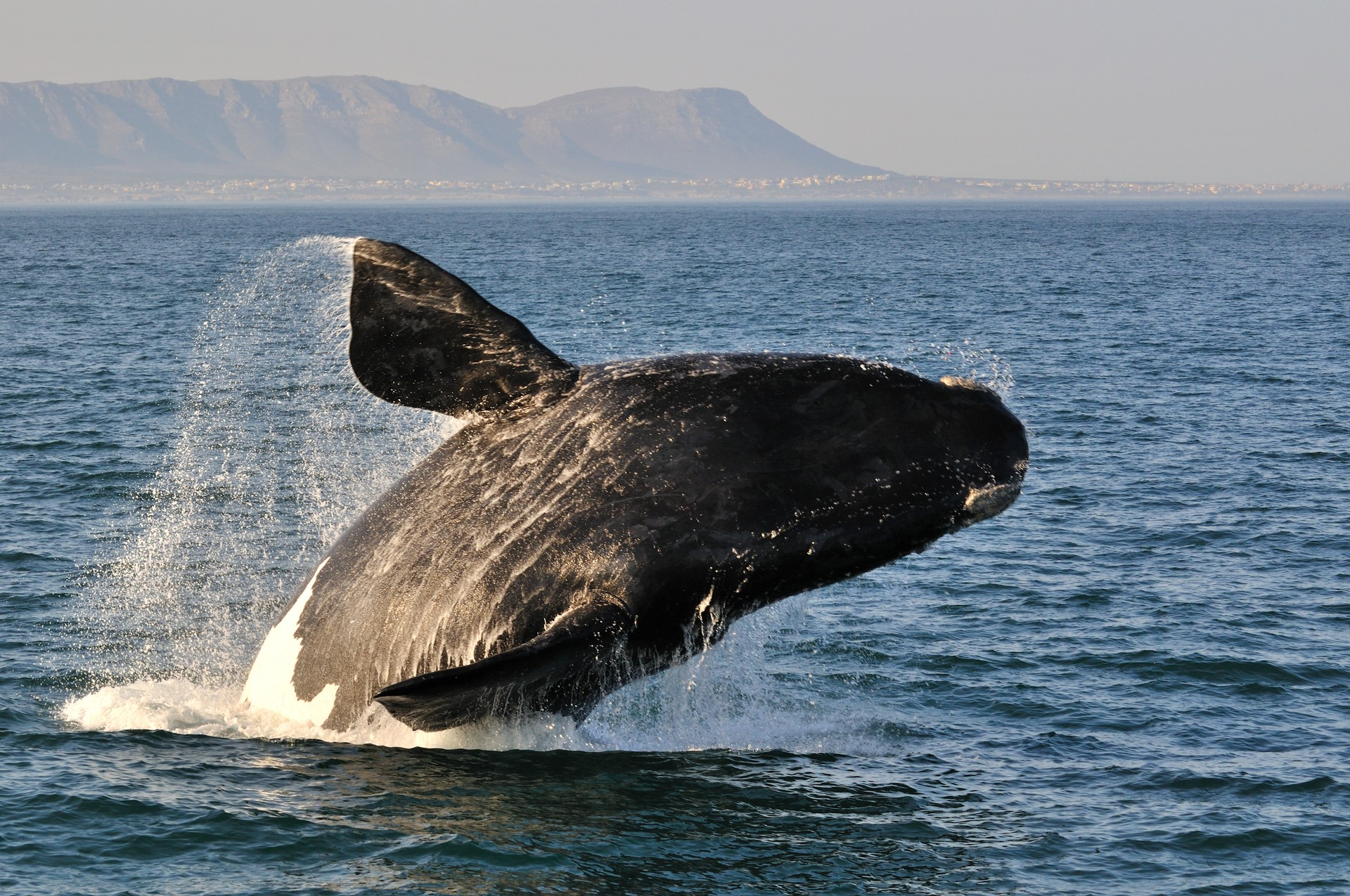 Southern right whale breaching South Africa