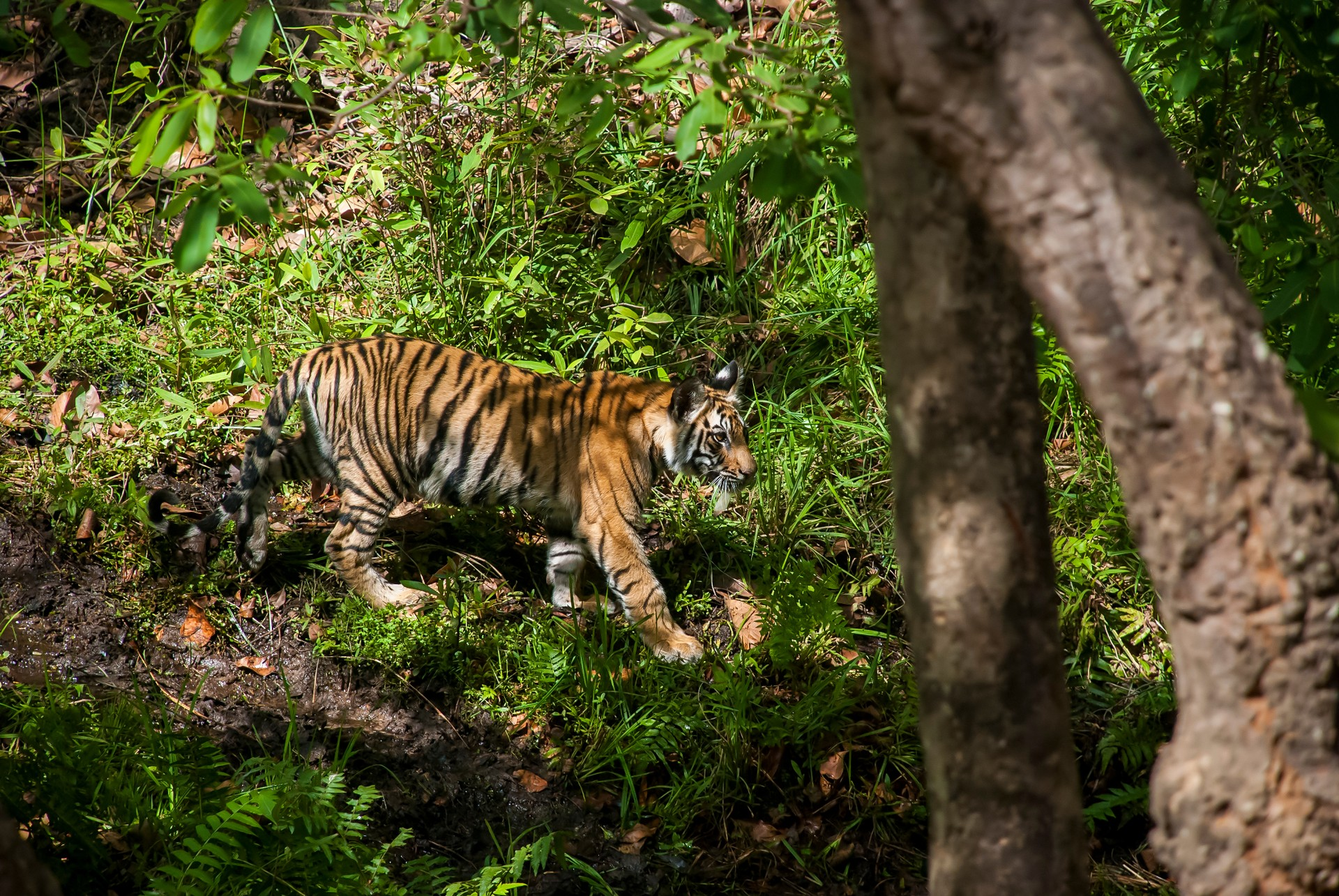 Tiger cub in Bandhavgarh National Park India