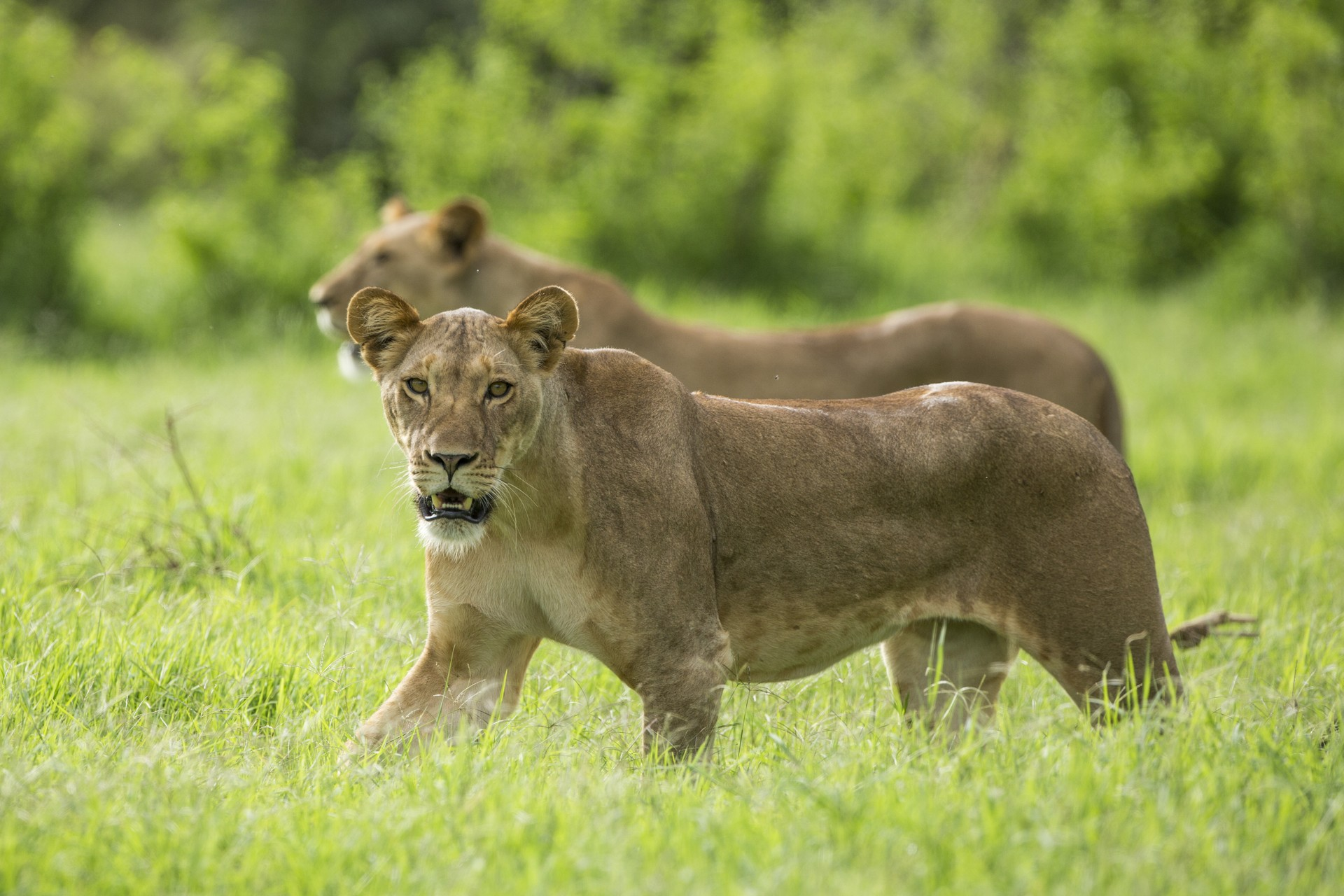 Two lionesses prowl through the Samburu Reserve in Kenya during November