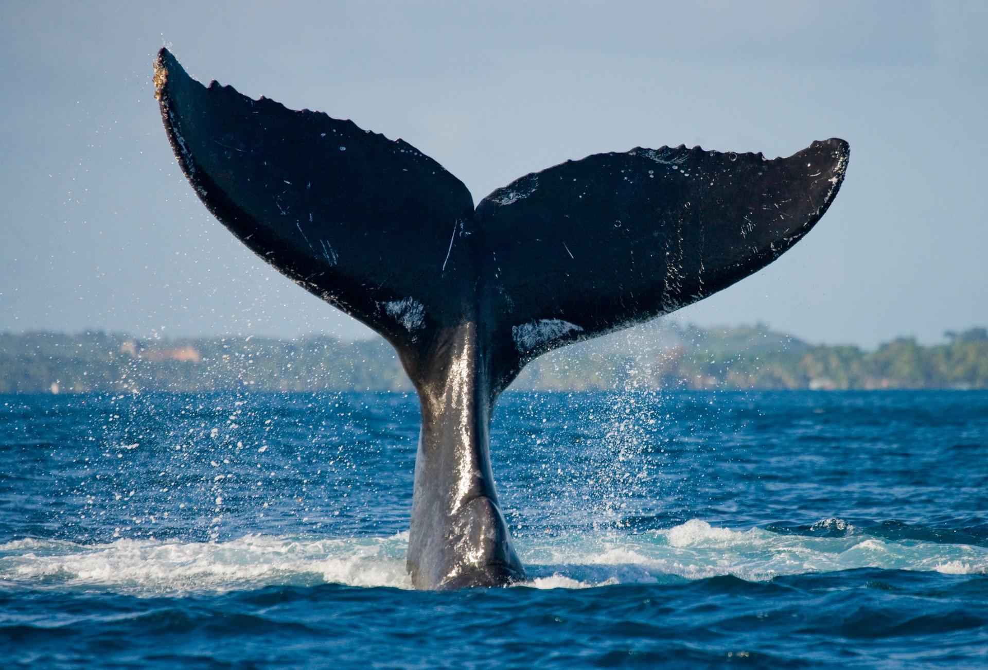 A whale swims off the coast of Madagascar