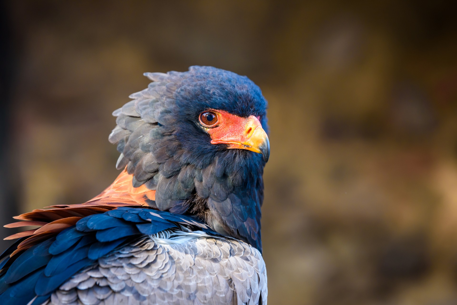 bateleur eagle in South Africa
