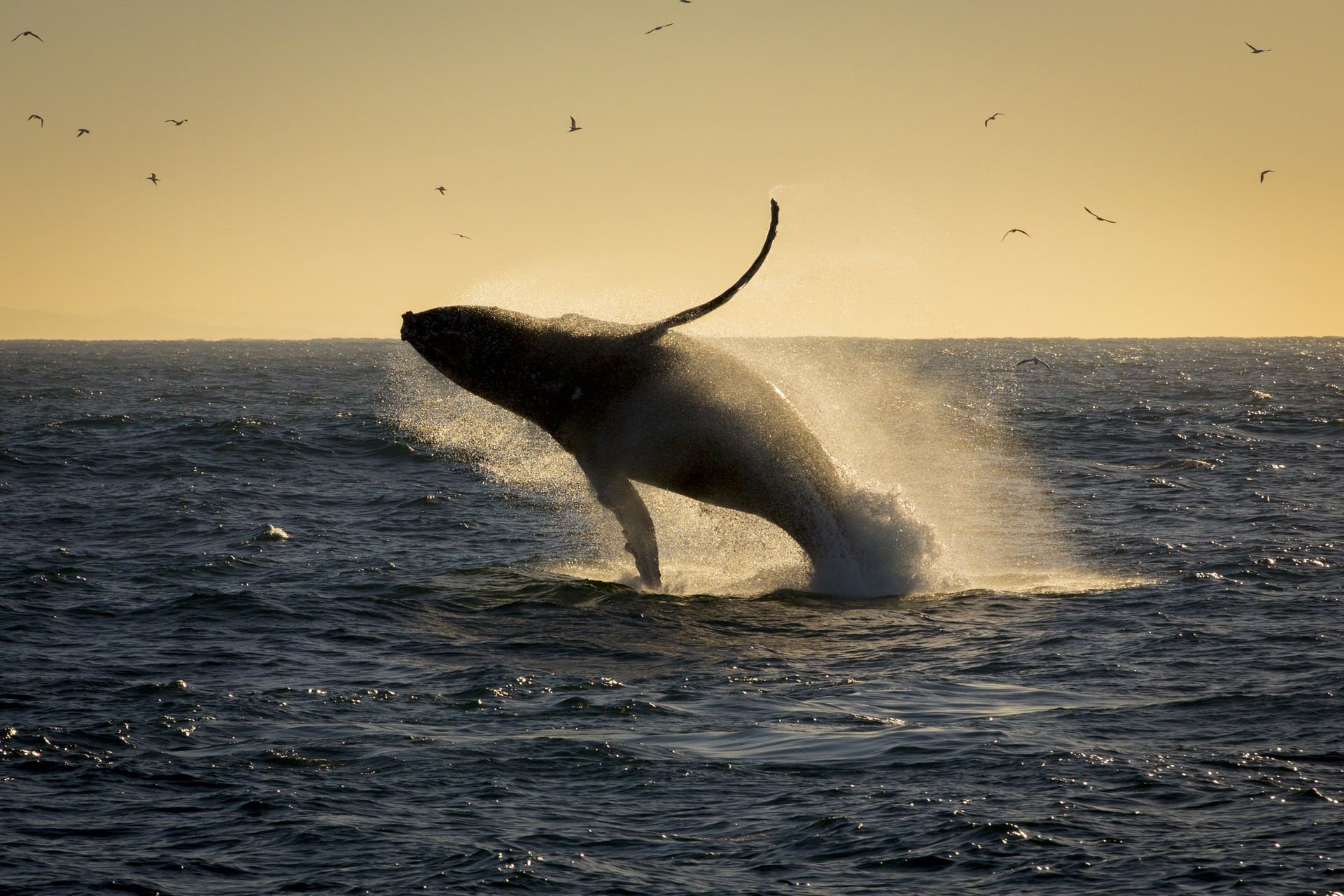 Humpback whale breaching South Africa