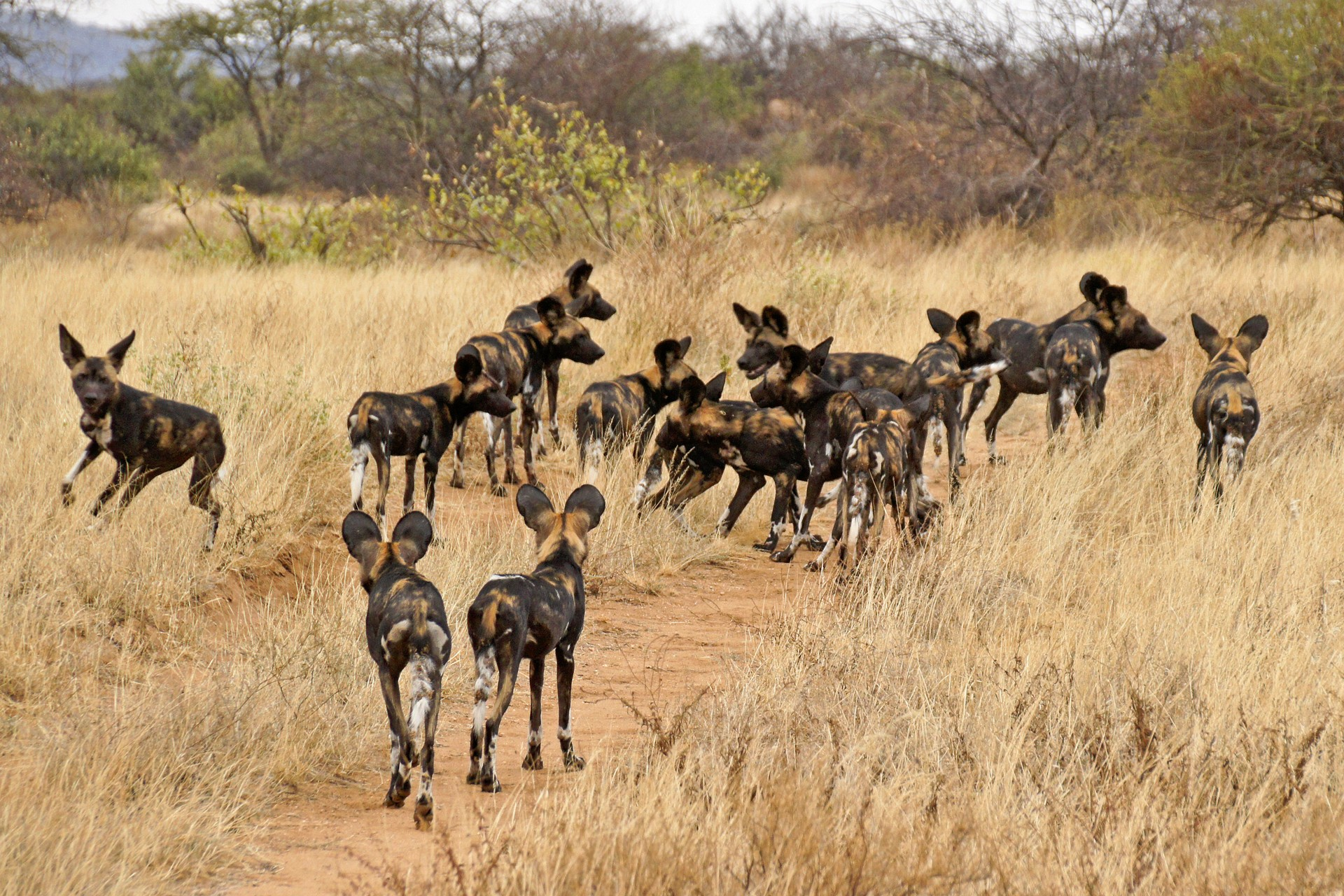 Pack of African wild dog in the wild