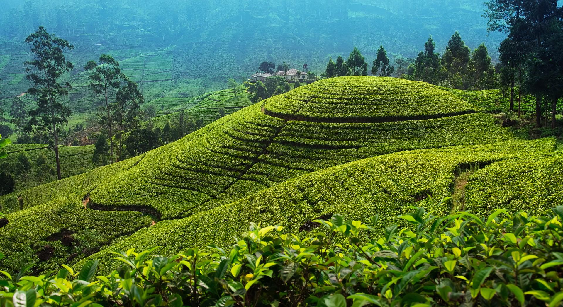Sri Lanka holidays: Nuwara Eliya tea plantation