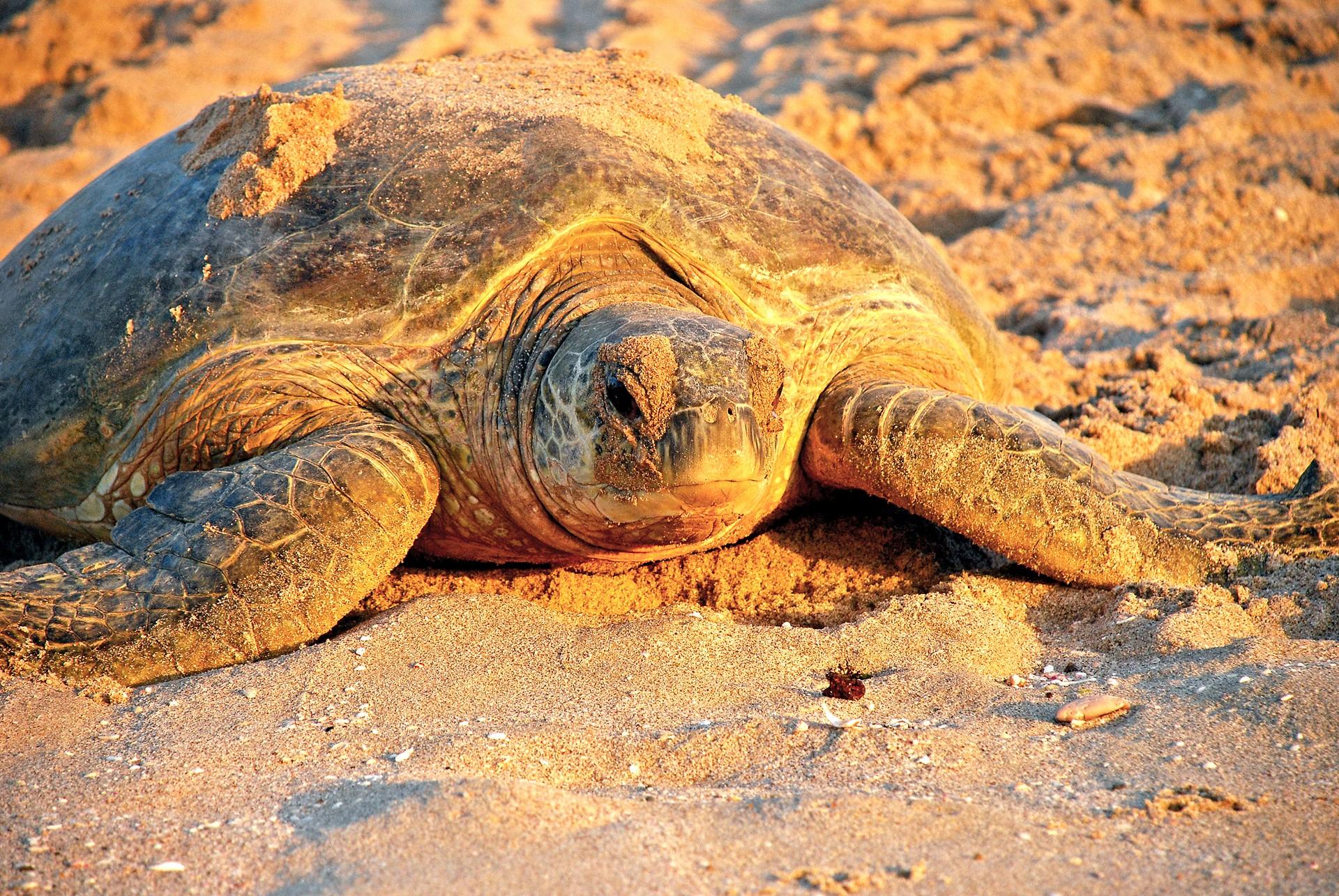 Turtle nesting in Oman