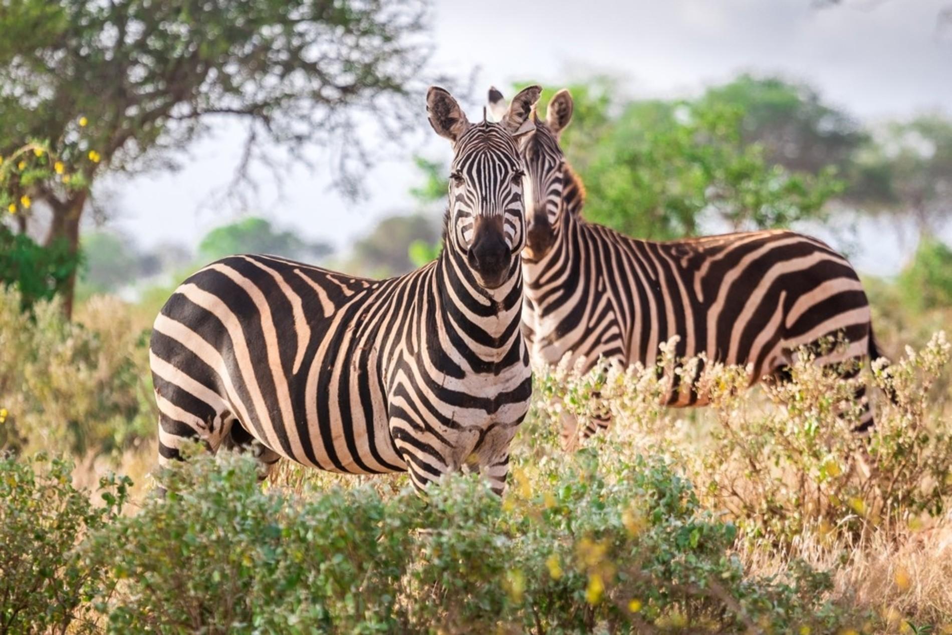 Zebra in Tsavo West National Park, Kenya