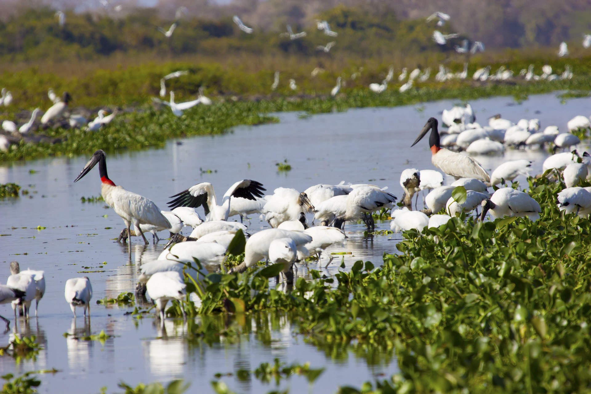 Birds on the Pantanal floodplains, Brazil