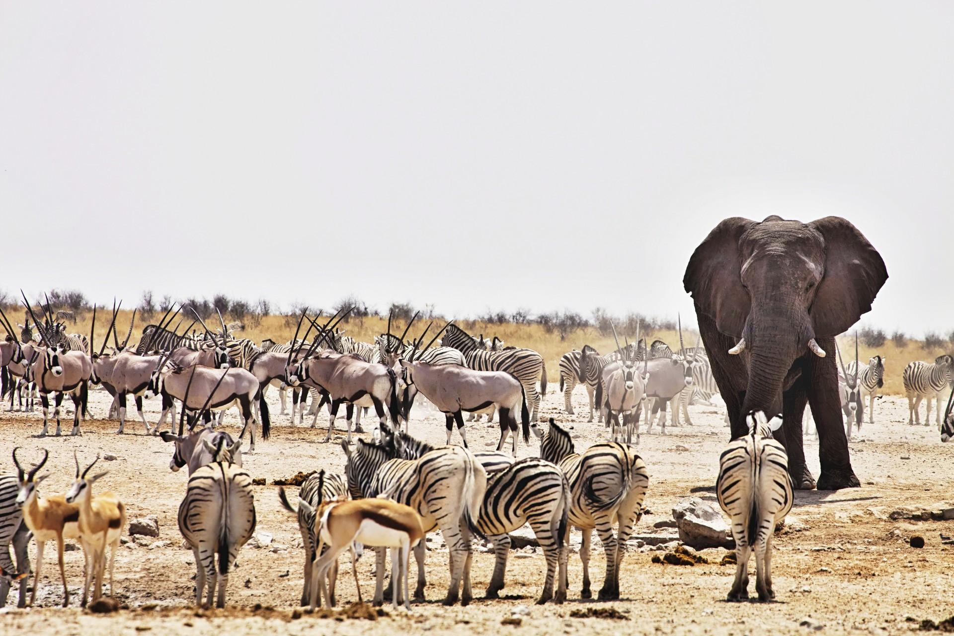 An elephant alongside zebras and oryxes in Etosha National Park