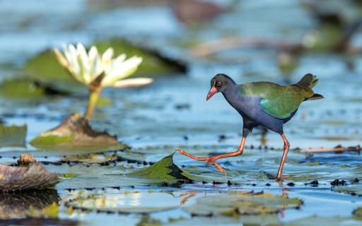 Botswana Chobe River bird