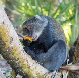 Blue Monkey in Ntchisi Forest Reserve