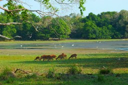 Samba deer grazing in Wilpattu National Park, Sri Lanka