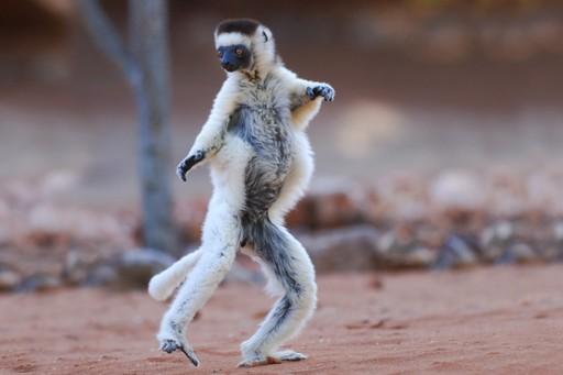 Standing lemur