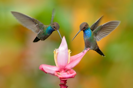Two hummingbirds in Ecuador