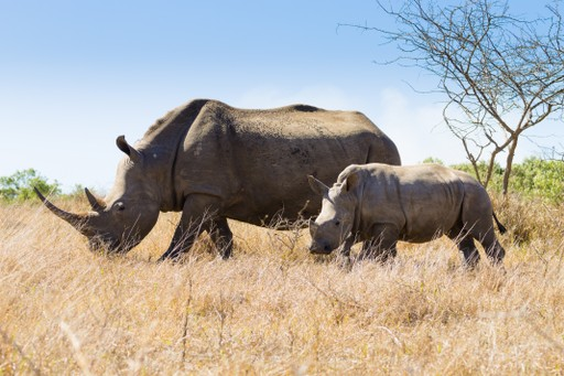 Rhino and calf in South Africa